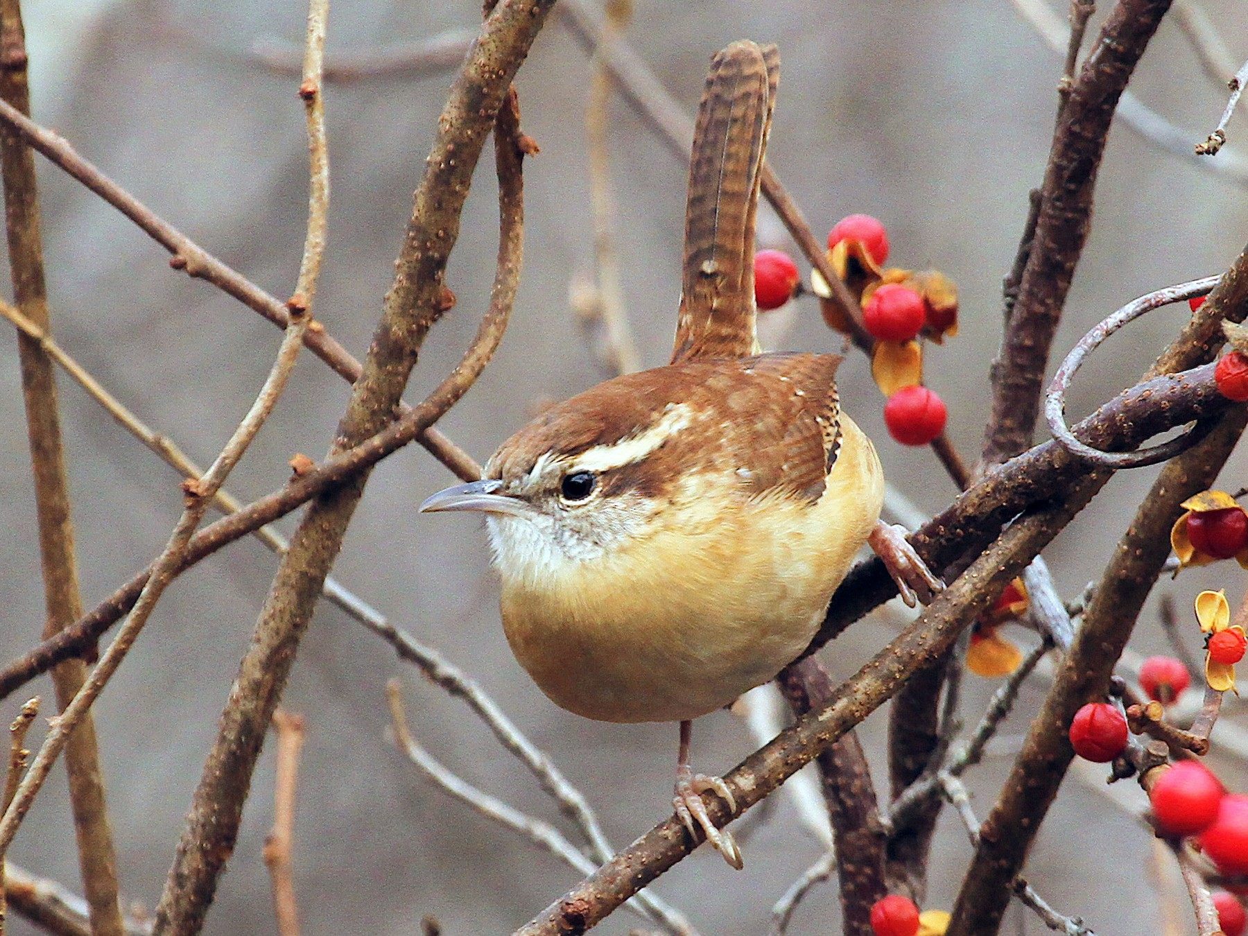 Carolina Wren - Ryan Schain