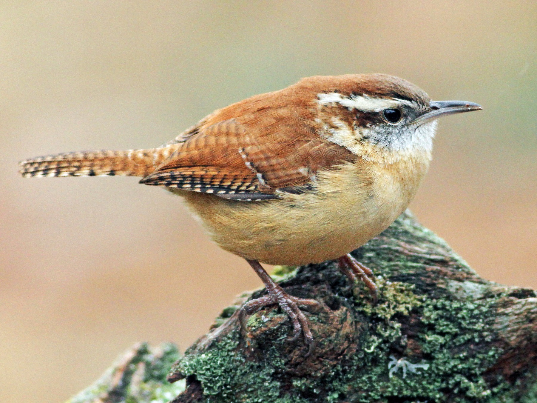 Carolina Wren - Evan Lipton