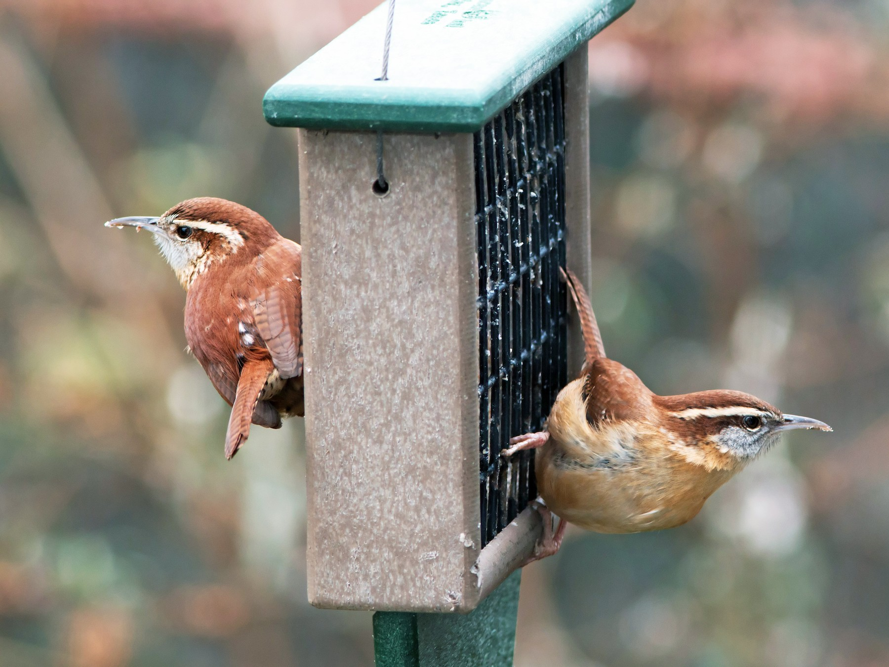 Carolina Wren - P Smith
