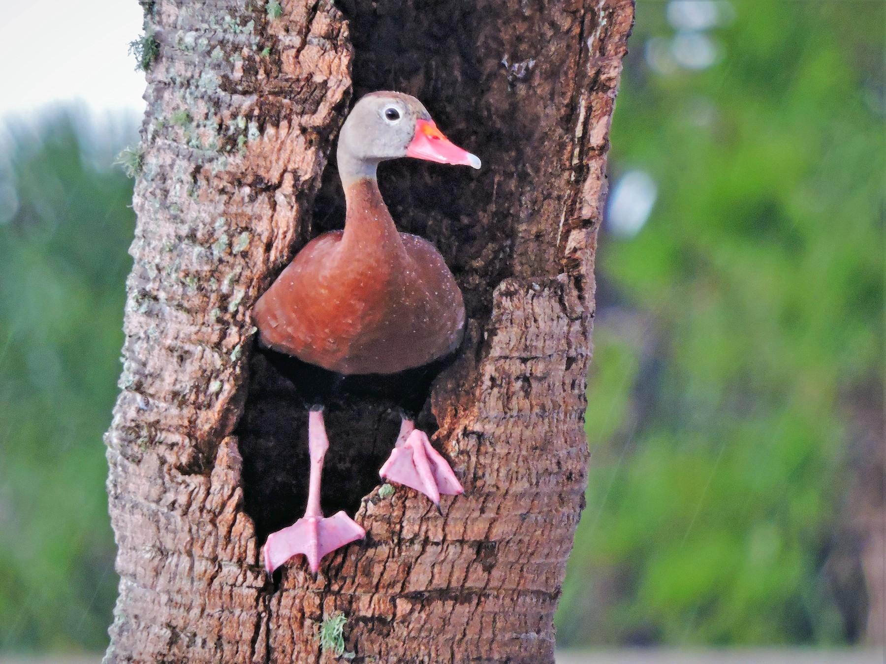 Black-bellied Whistling-Duck - S. K.  Jones