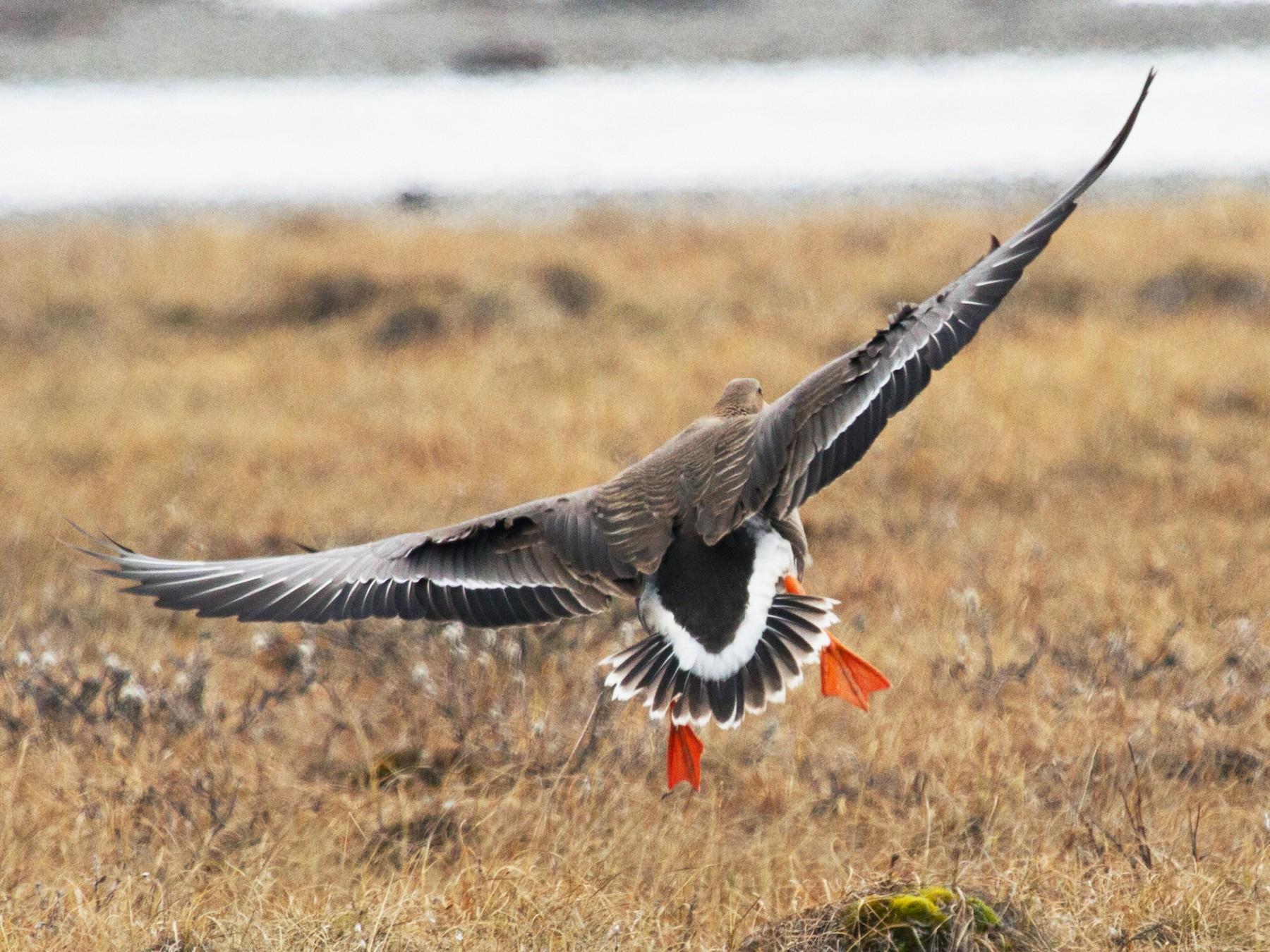 Greater White-fronted Goose - Scott Heidorn