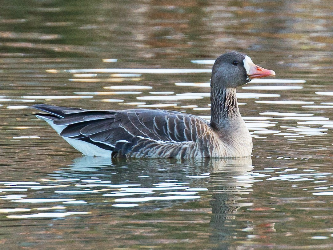 Greater White-fronted Goose - David Disher