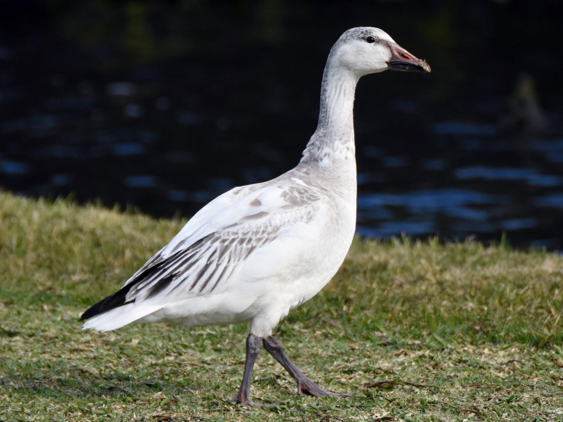 Snow Goose - Andrew Dobson