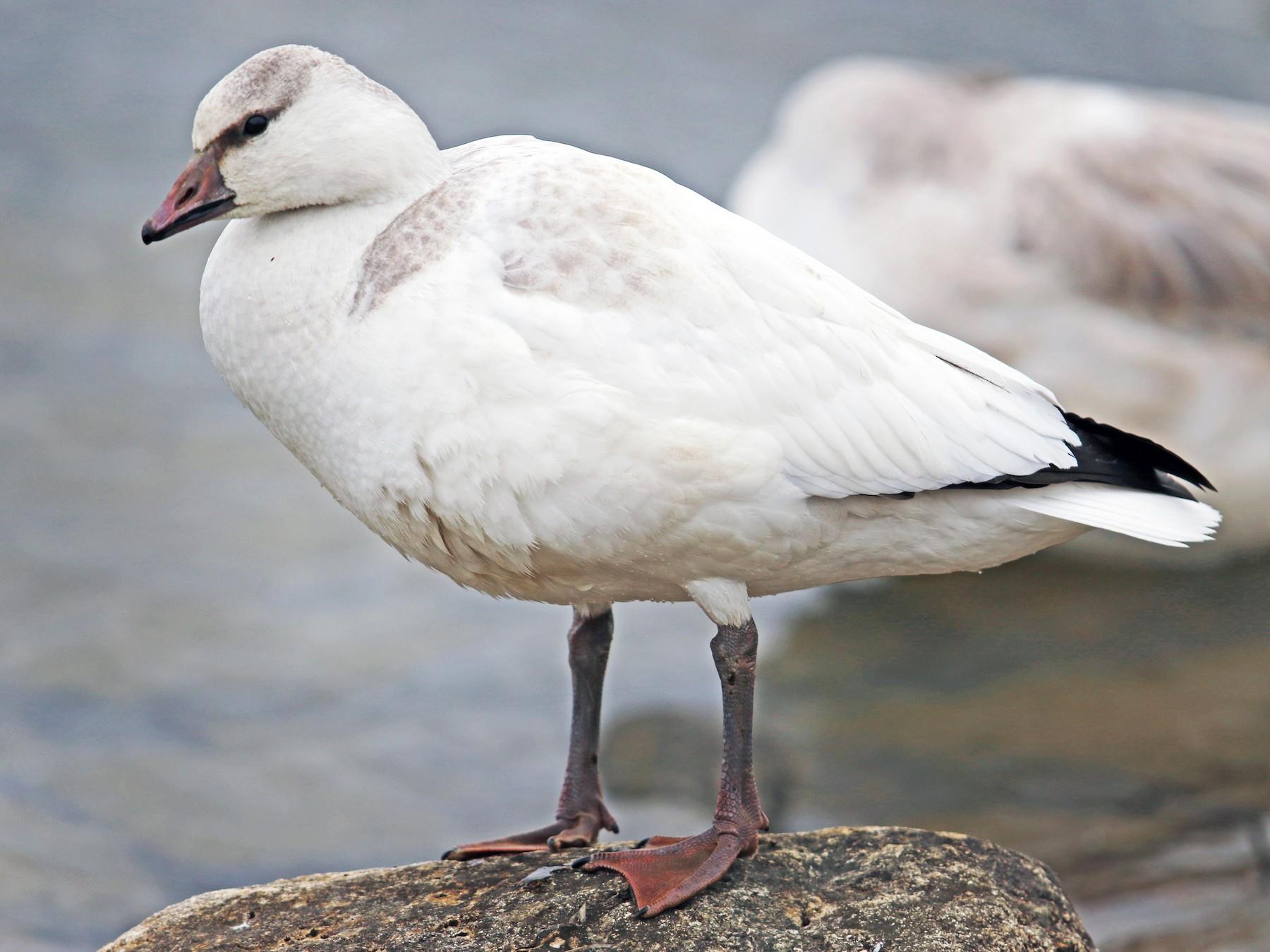 Ross's Goose - Daniel Jauvin