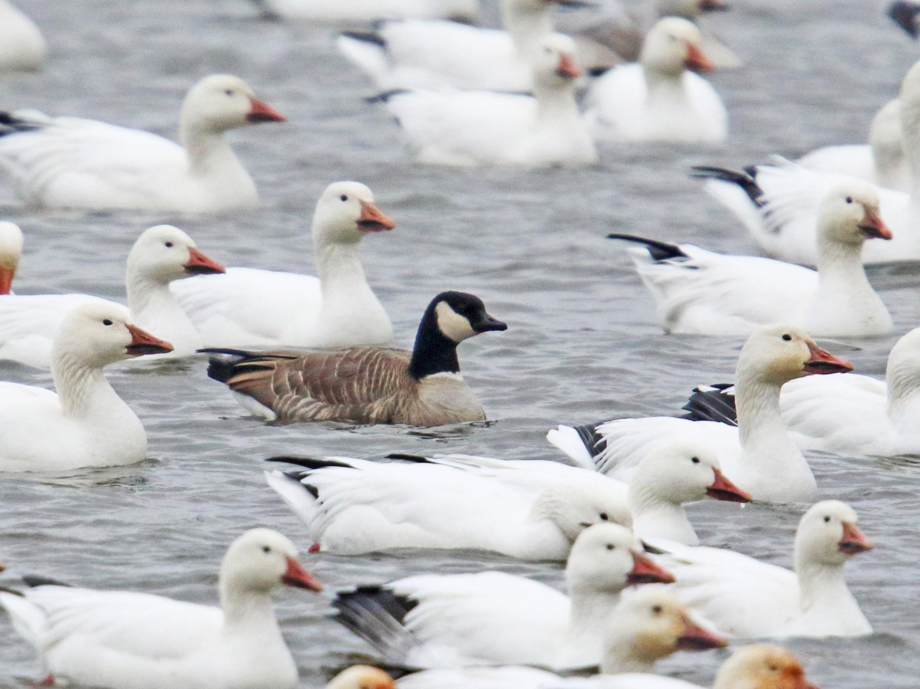 Cackling Goose - Daniel Jauvin