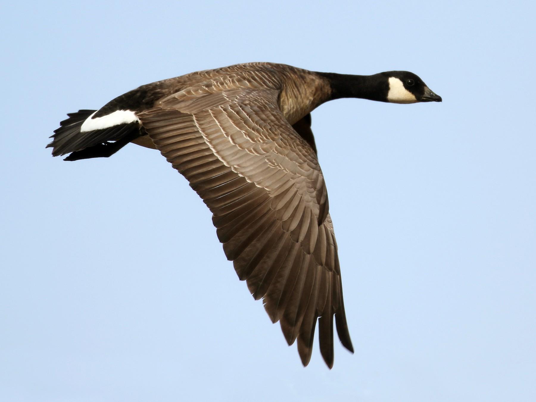 Cackling Goose - Cameron Eckert