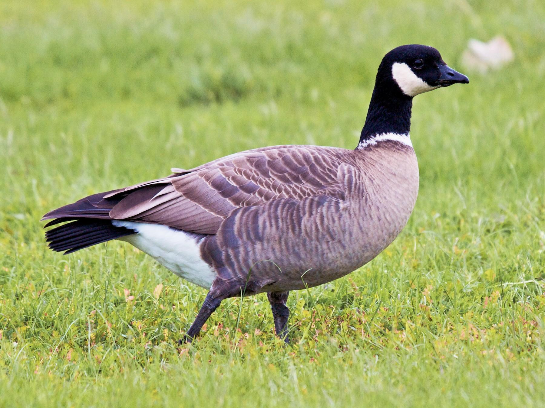 Cackling Goose - Matt Brady