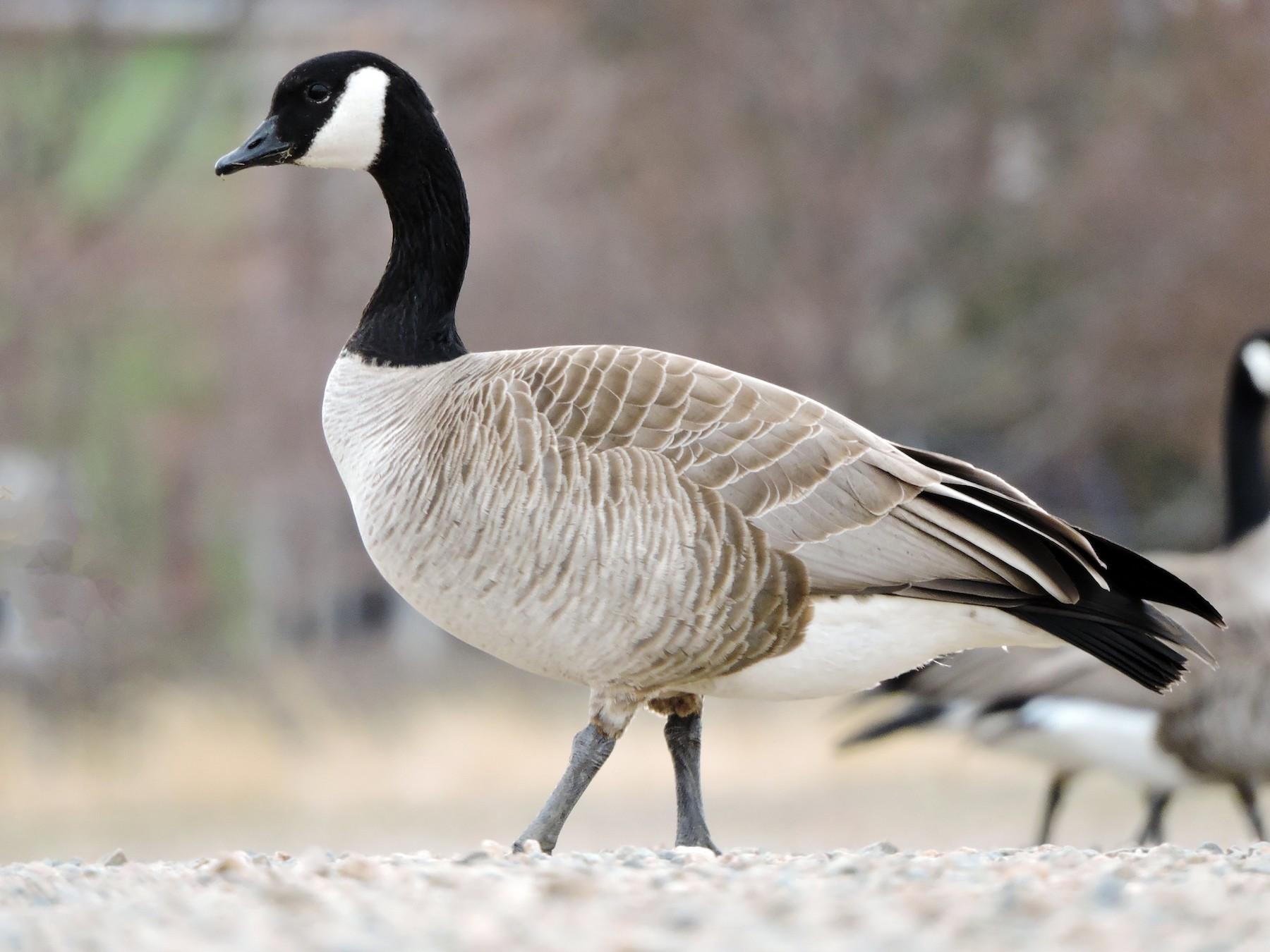 Cackling Goose - Jack  Bushong