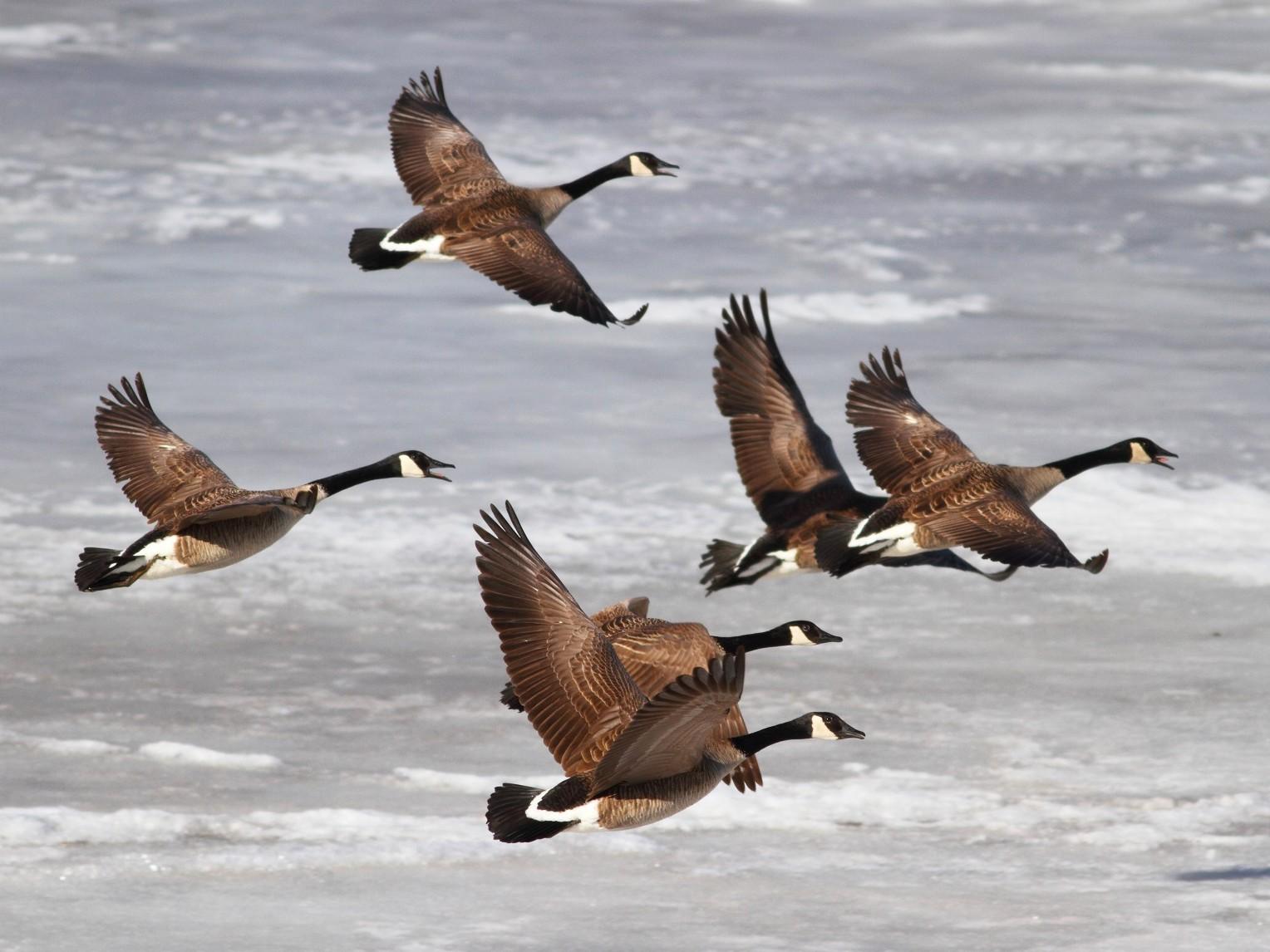 Canada Goose - Brian  Collins