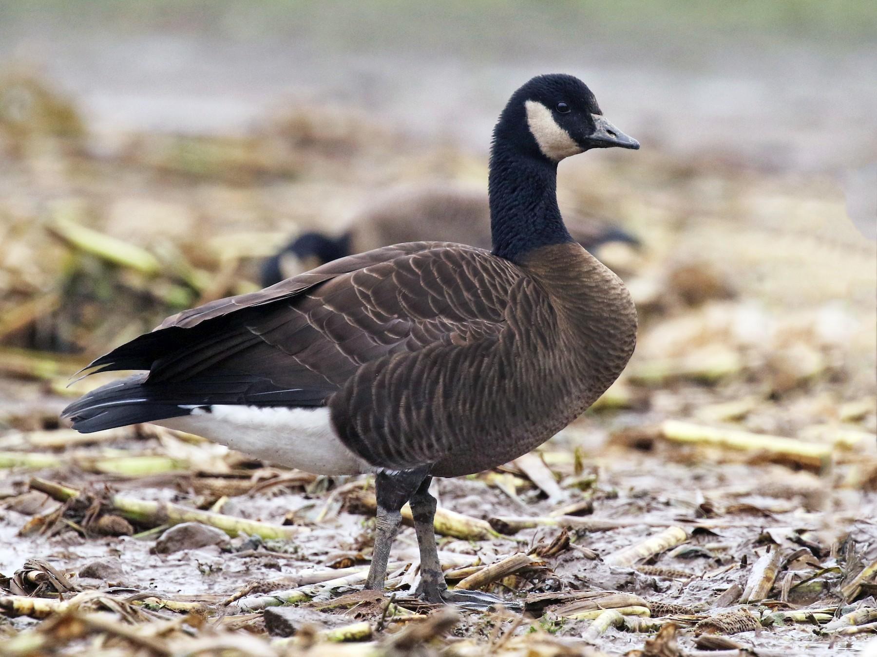 Canada Goose - Liam Singh