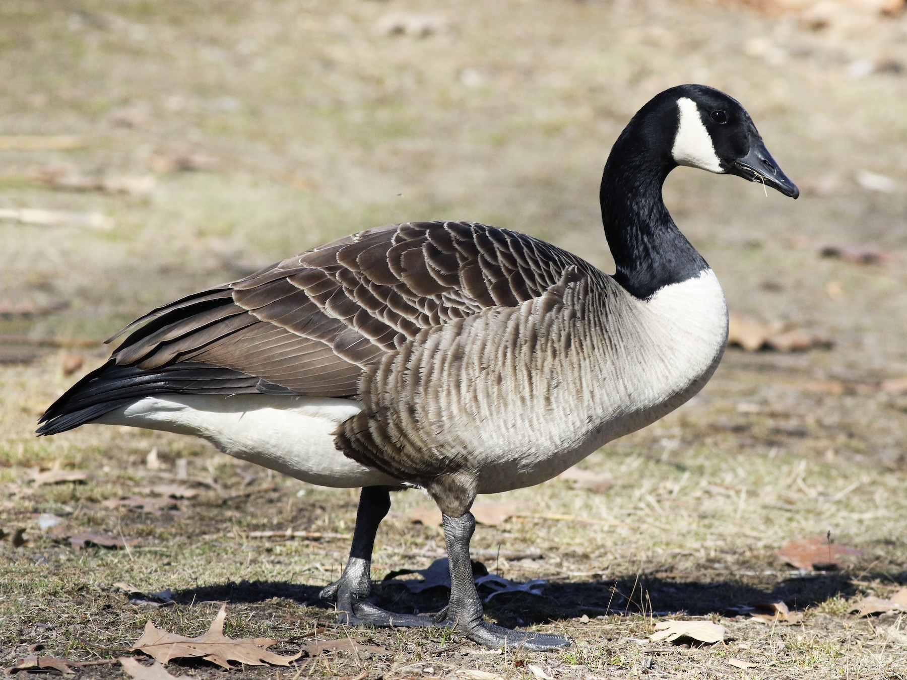 Canada Goose - Max McCarthy