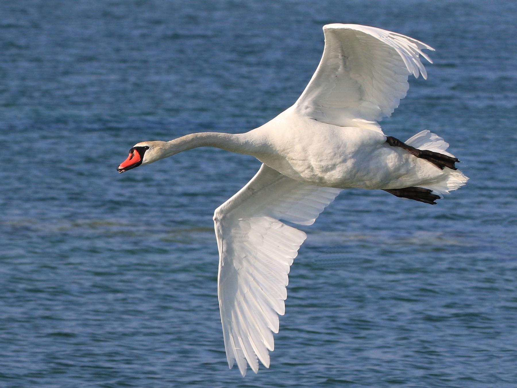Mute Swan - Patrick MONNEY