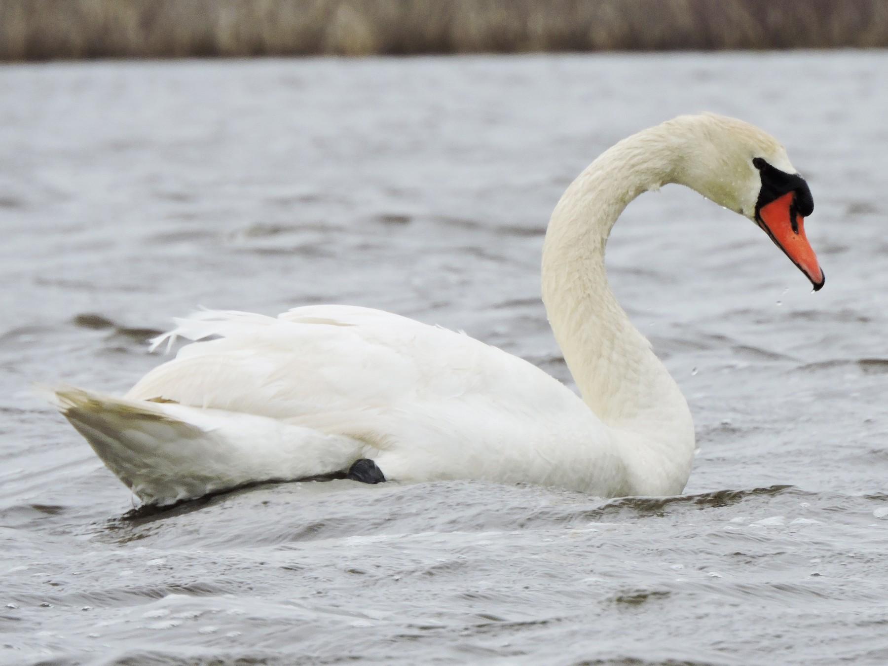 Mute Swan - Jack  Bushong
