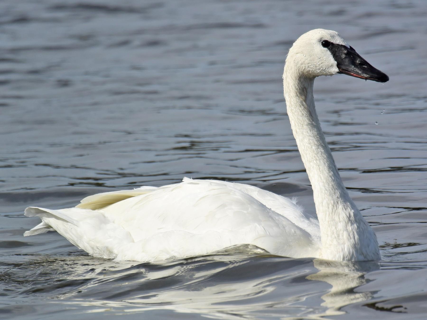 Trumpeter Swan - Steve Percival