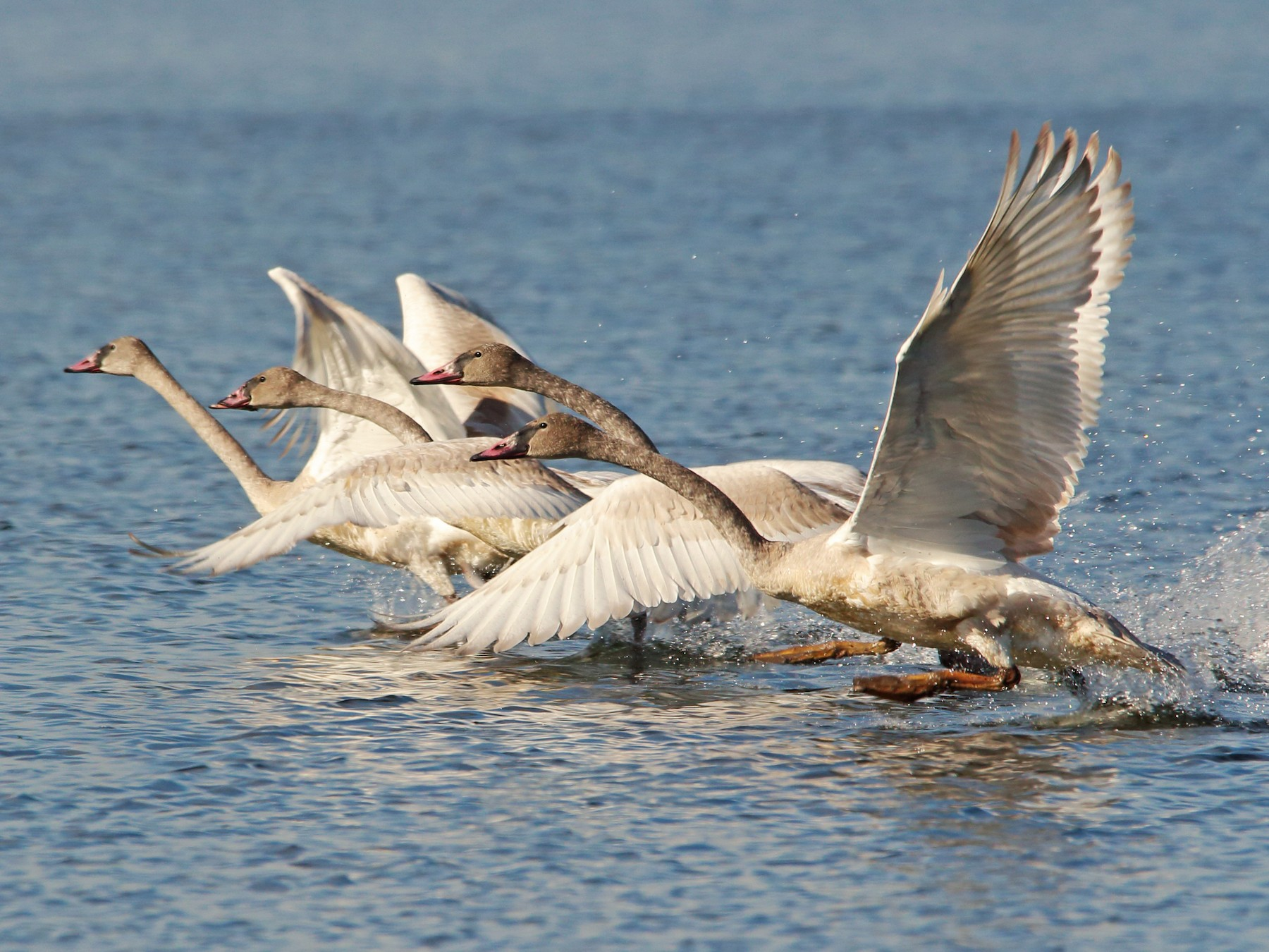 Trumpeter Swan - Anonymous eBirder