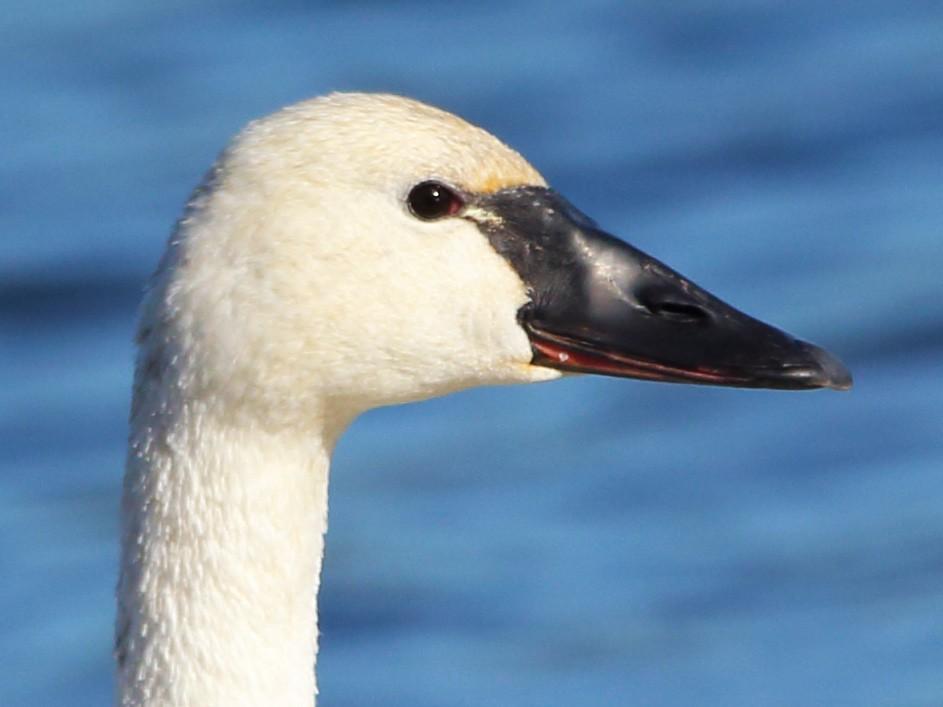 Tundra Swan - Anonymous eBirder