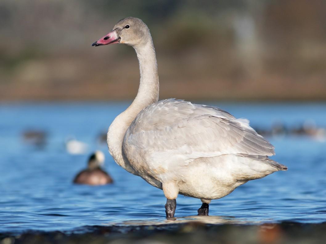Tundra Swan - Liron Gertsman