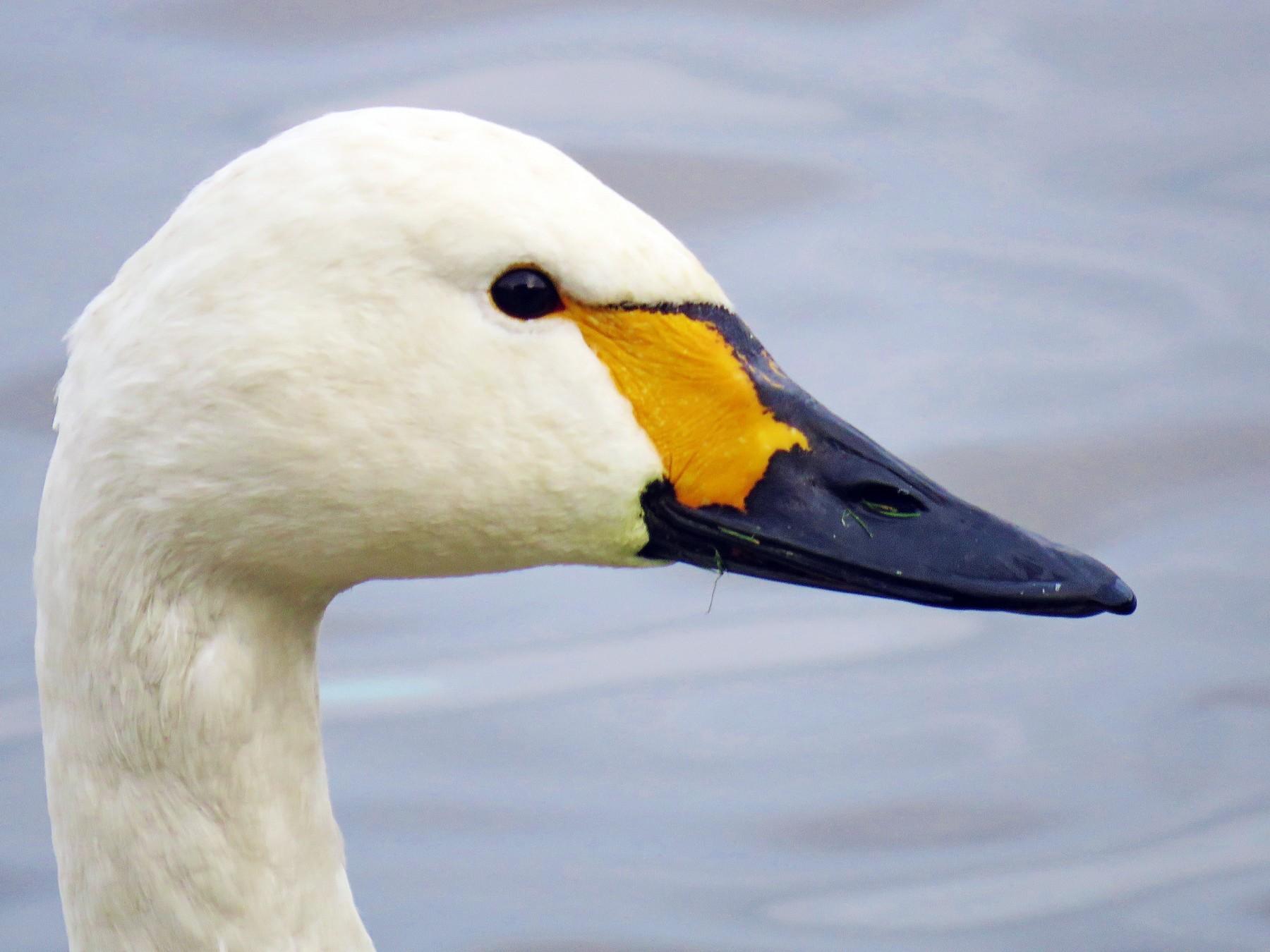 Tundra Swan - Thomas Gibson