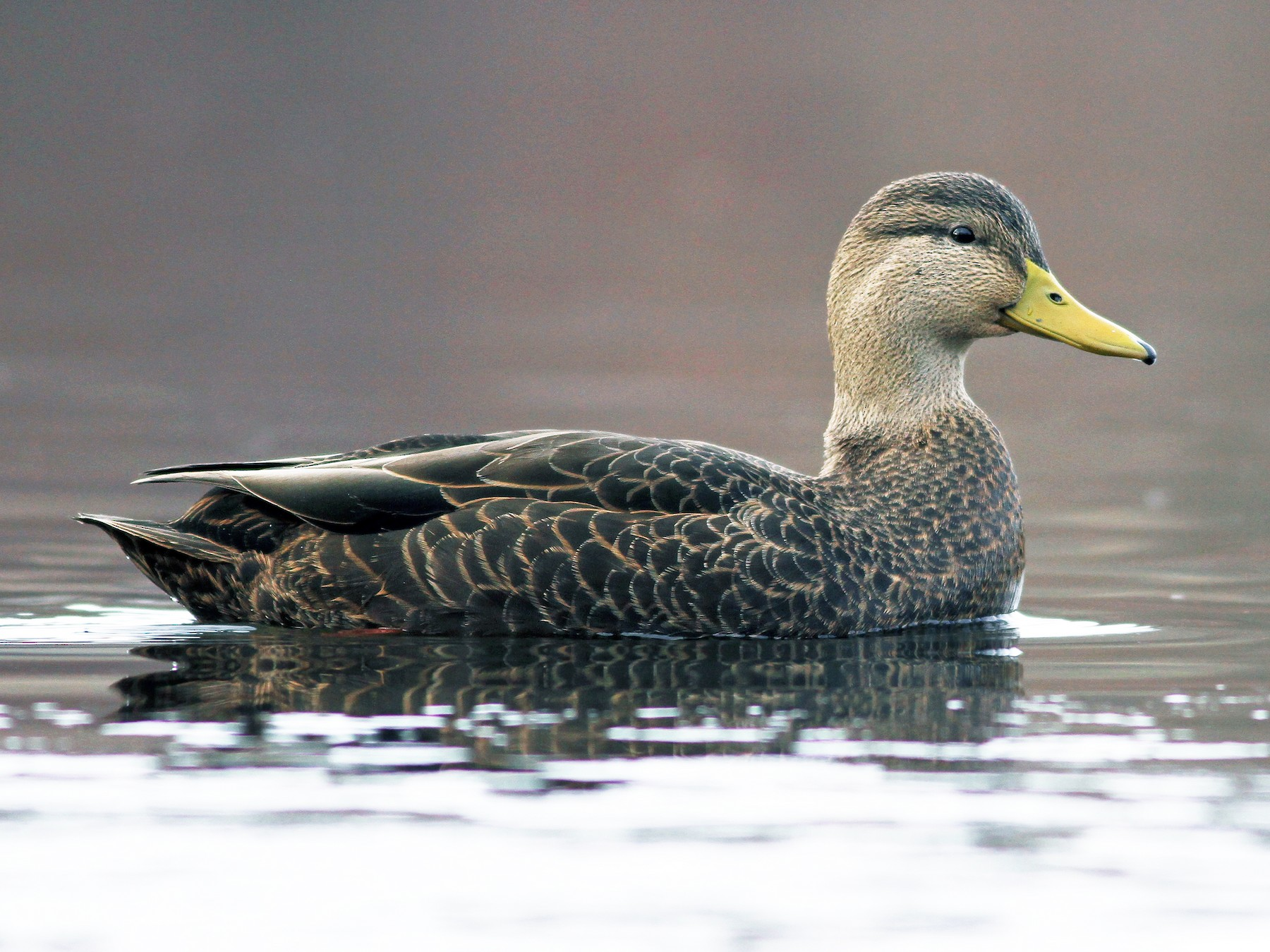 American Black Duck - Evan Lipton