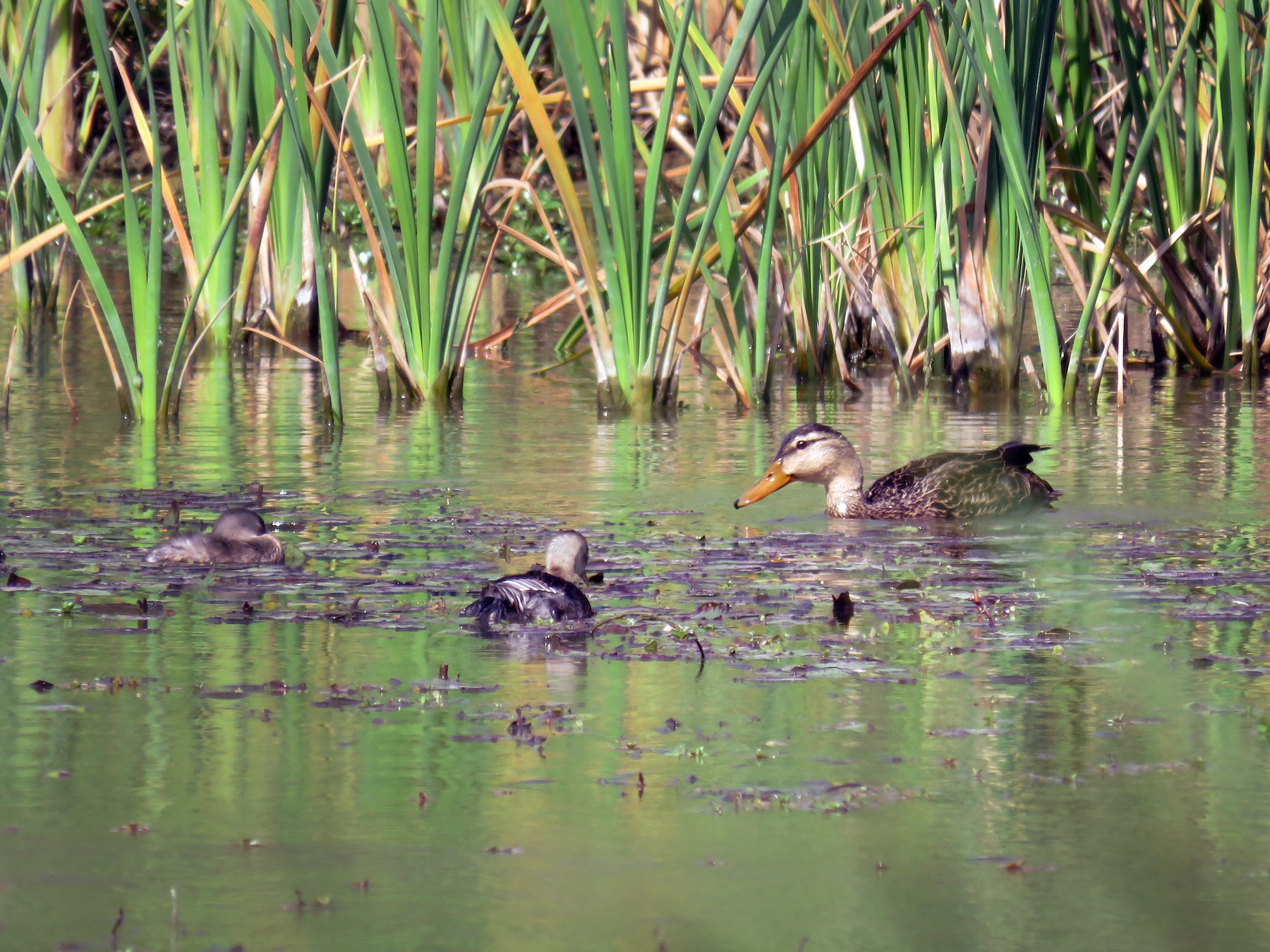 Mottled Duck - Lynne Parks