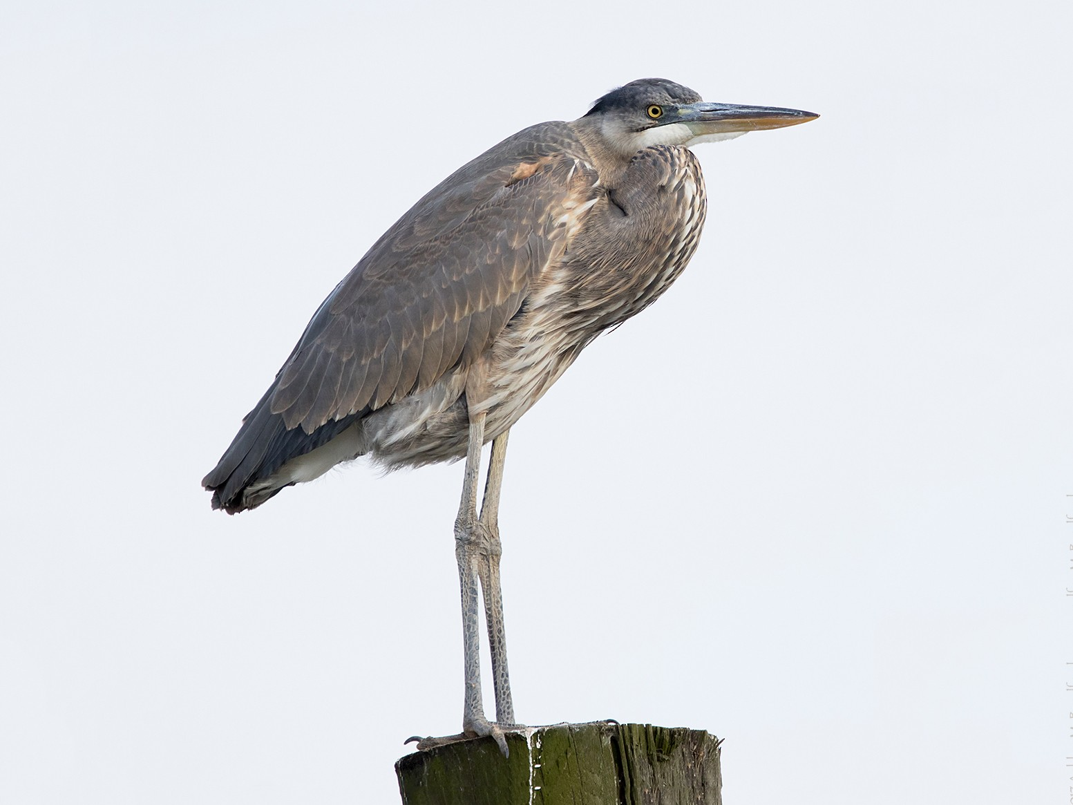 Great Blue Heron - Ashley Bradford
