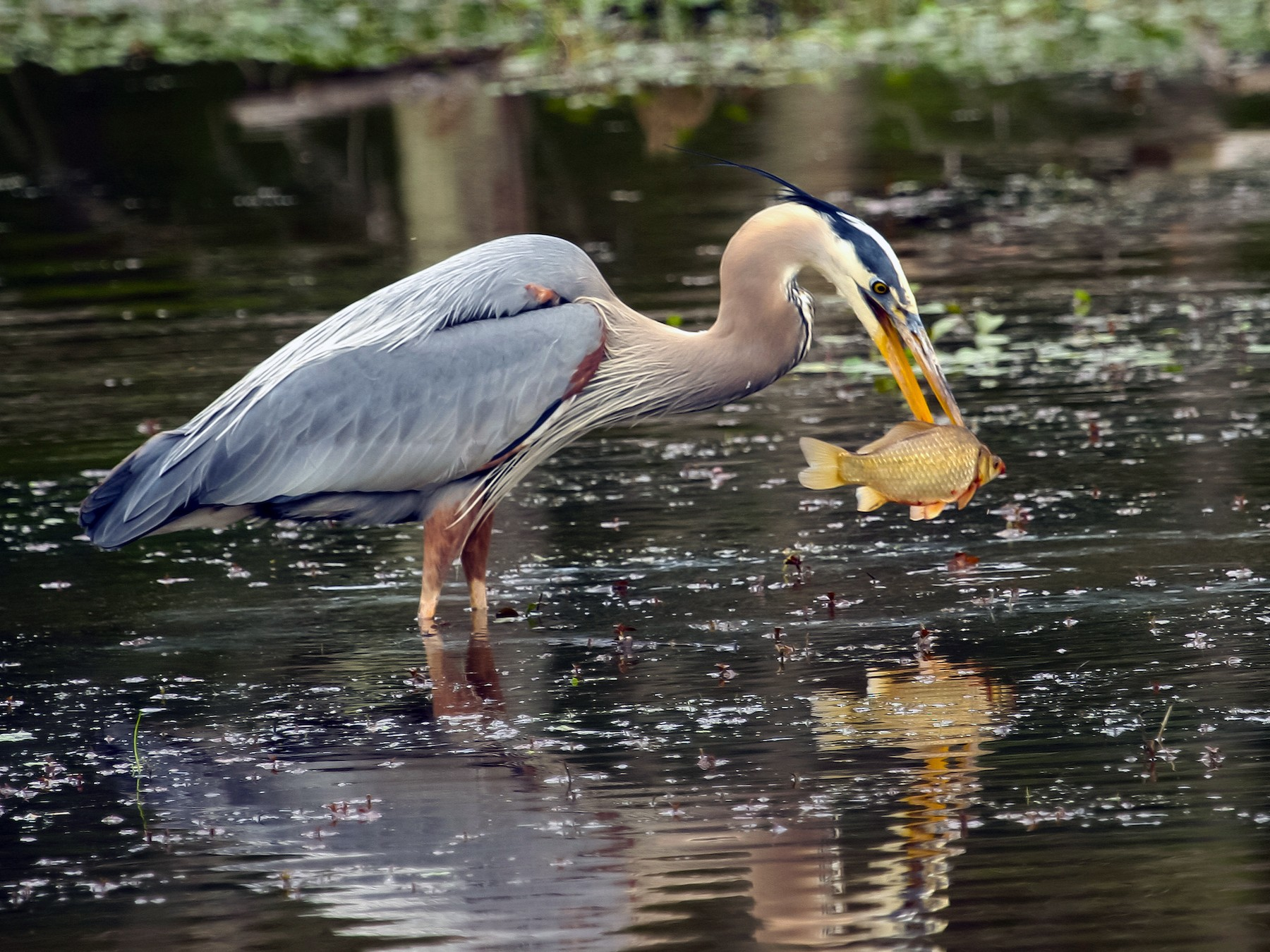 Great Blue Heron - Tom Davis