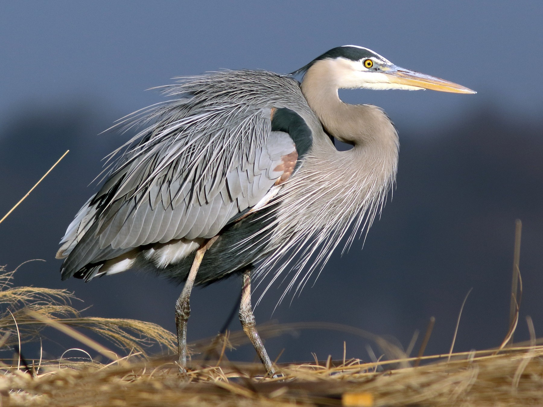 Great Blue Heron - Linda Chittum