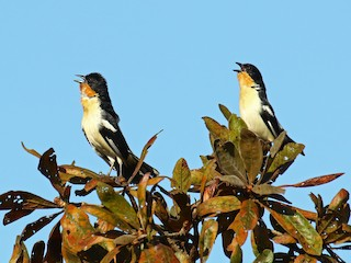 - White-rumped Tanager
