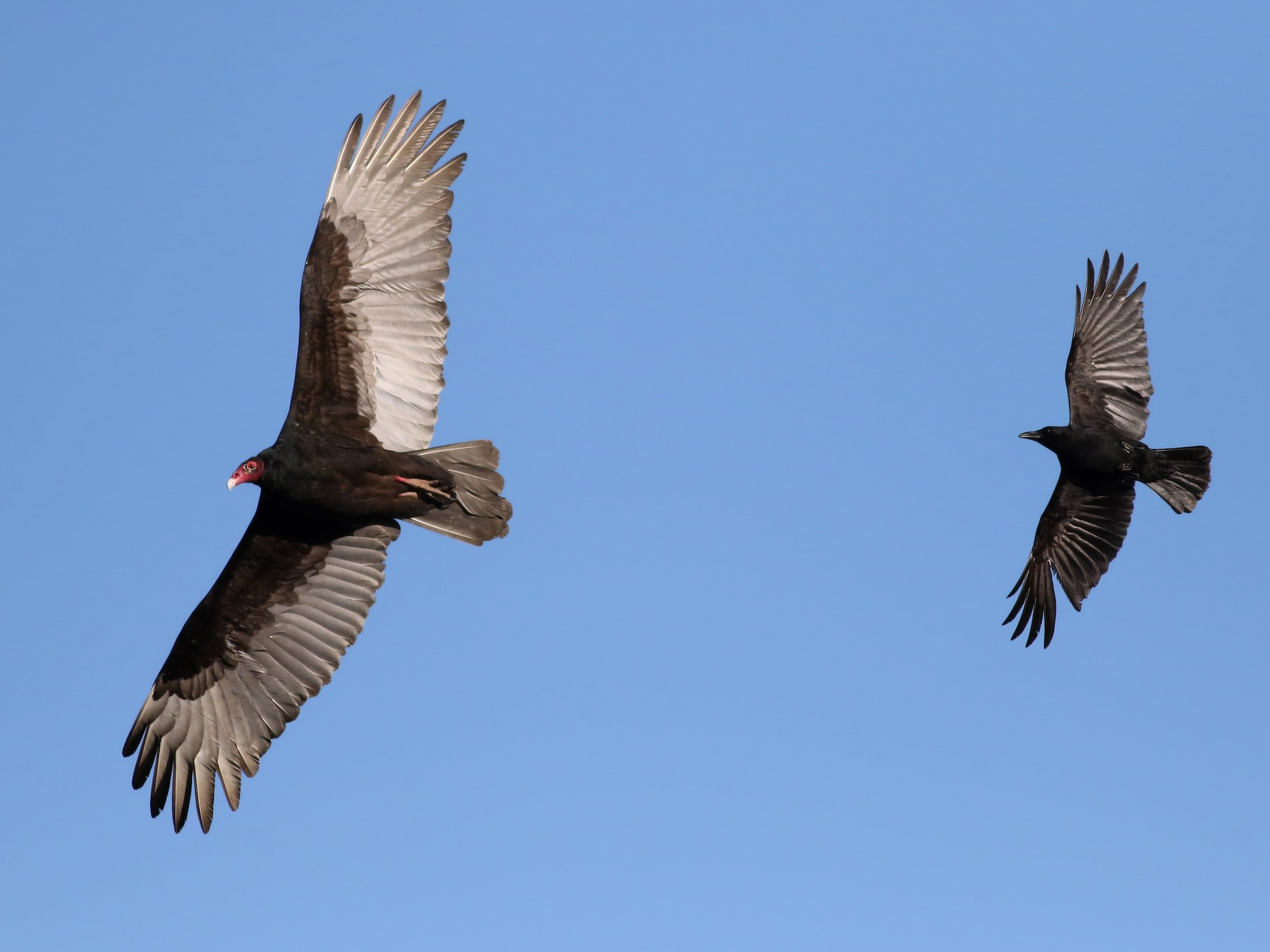 Turkey Vulture - Jay McGowan