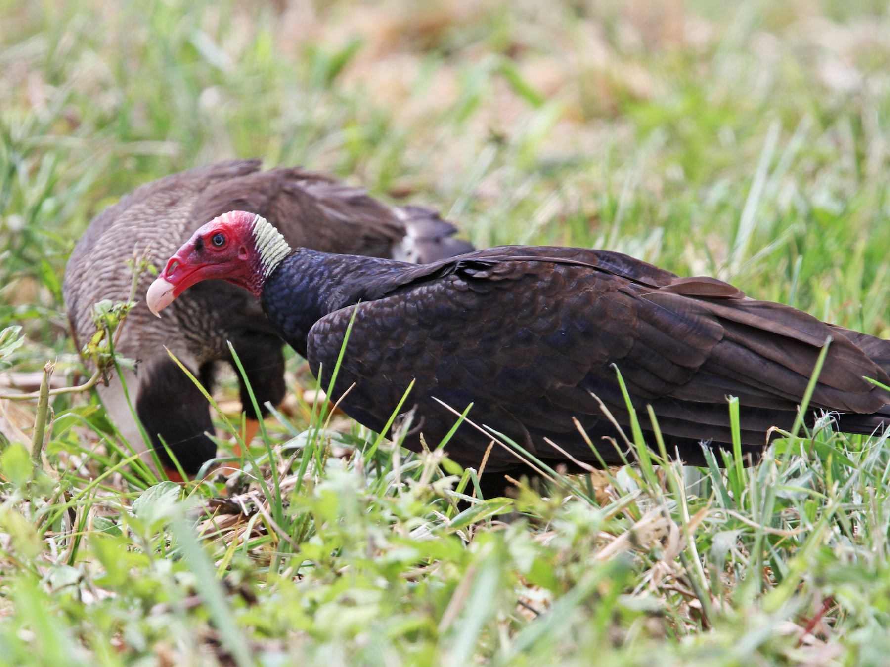 Turkey Vulture - Thompson Ian
