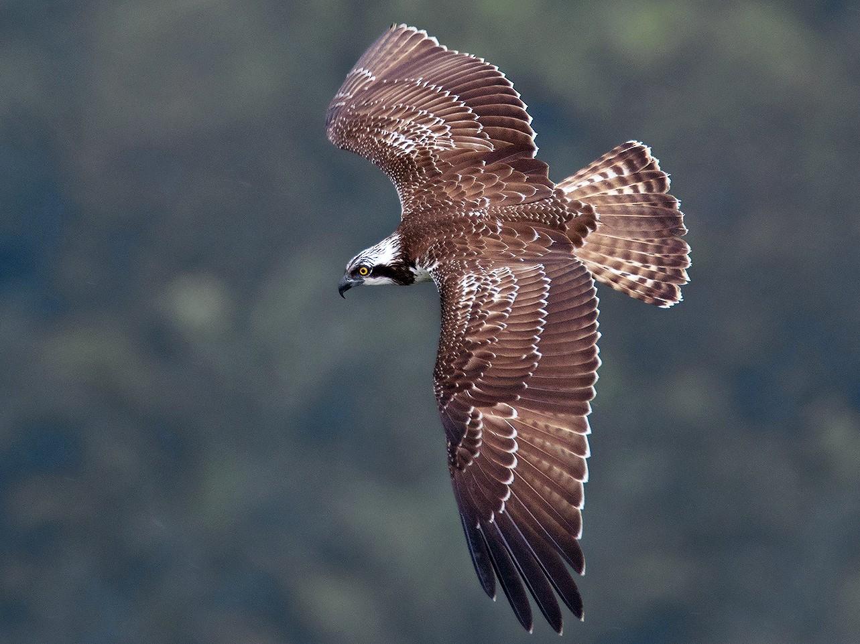 Osprey - Ayuwat Jearwattanakanok