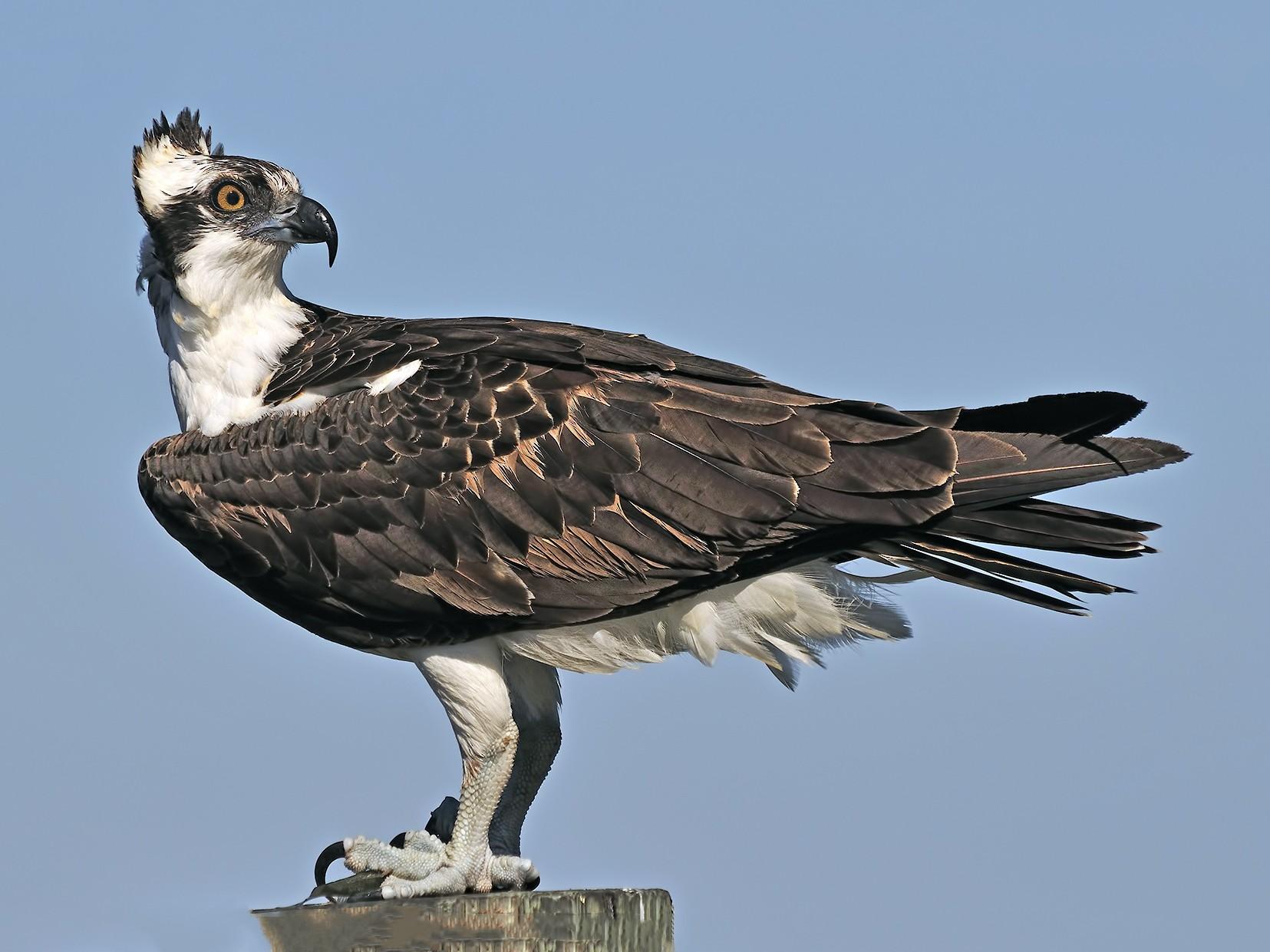 Águila Pescadora - Ferit Başbuğ