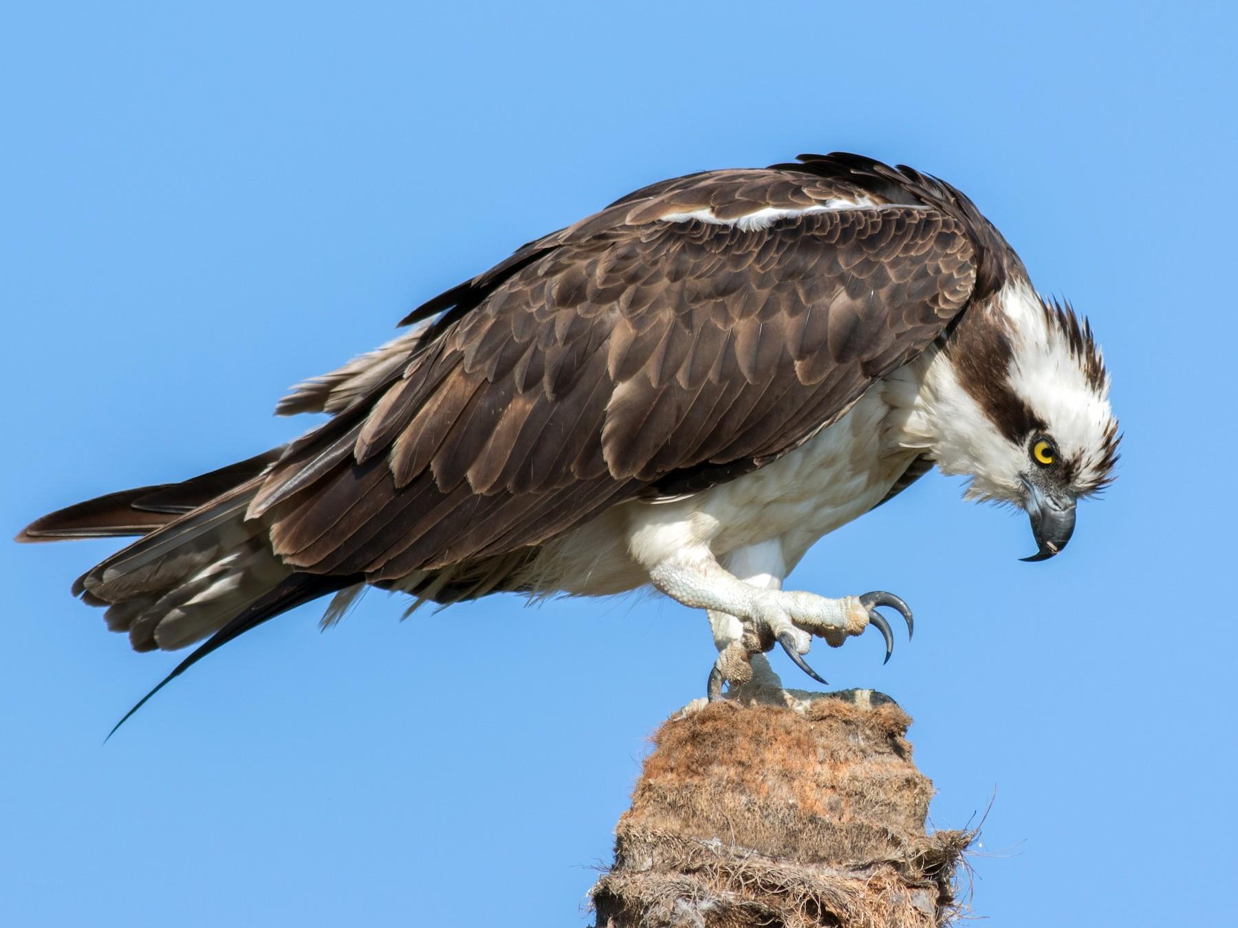 Águila Pescadora - Kris Perlberg