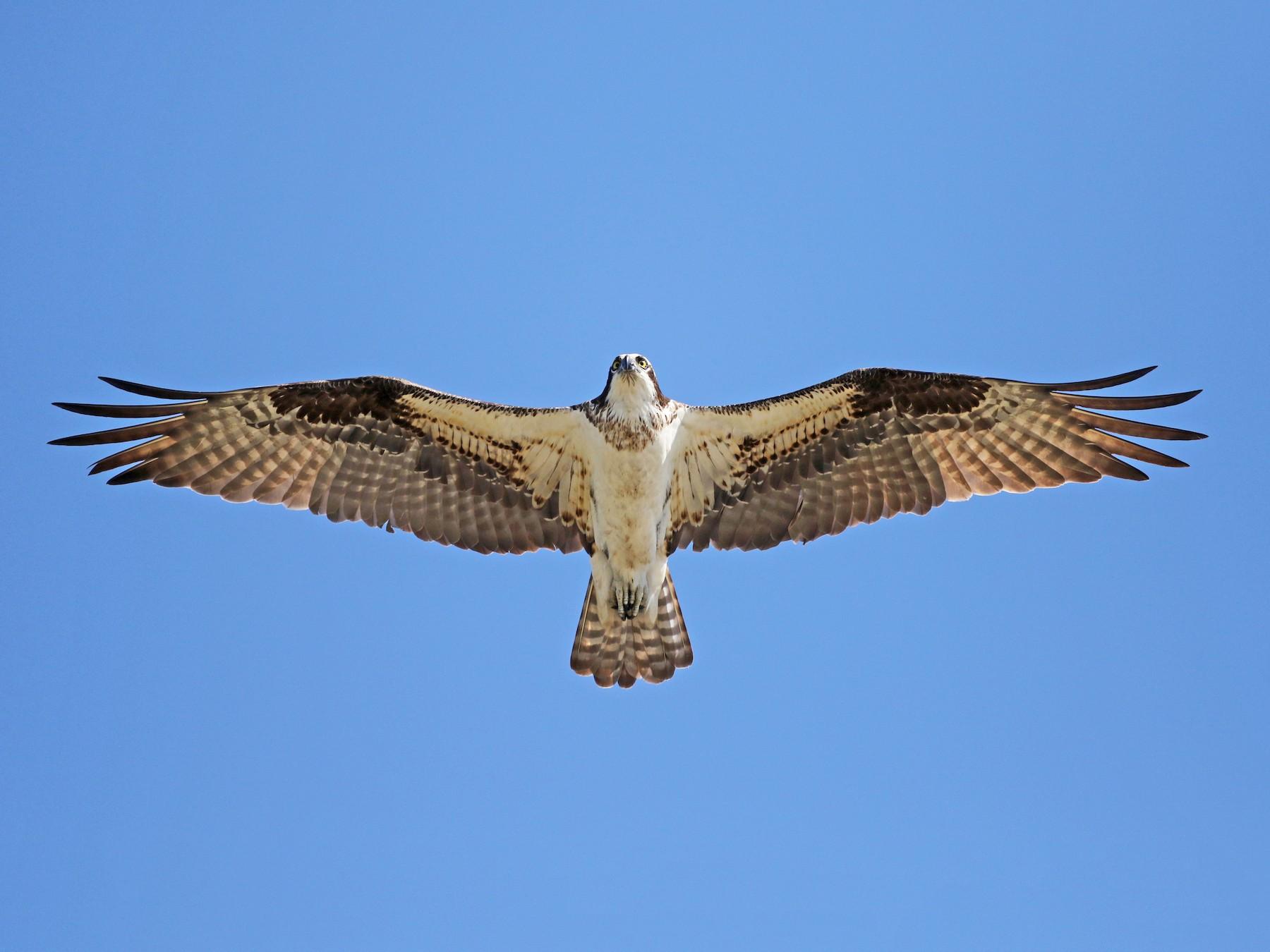 Águila Pescadora - Jay McGowan