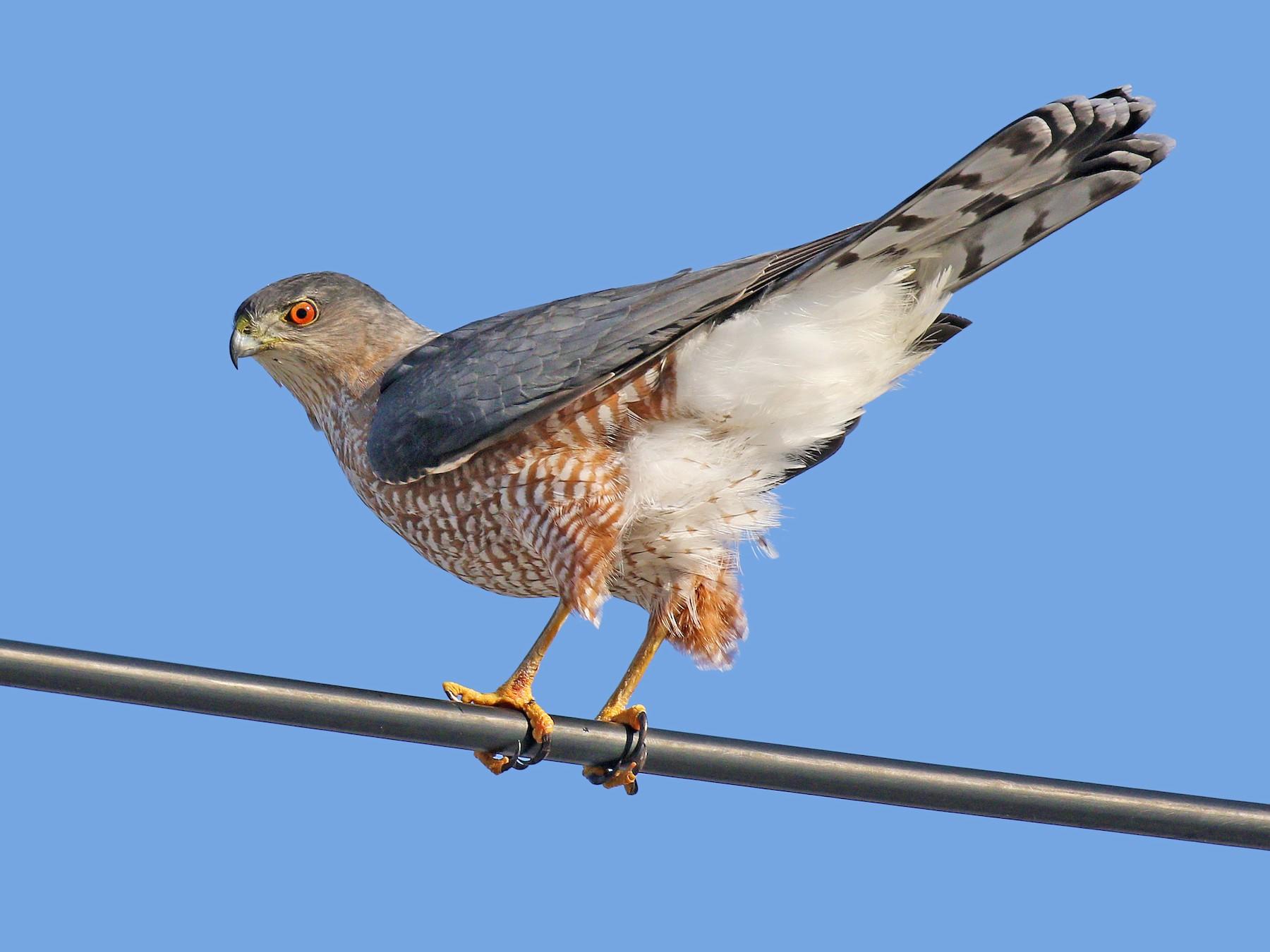 Cooper's Hawk - Ryan Schain