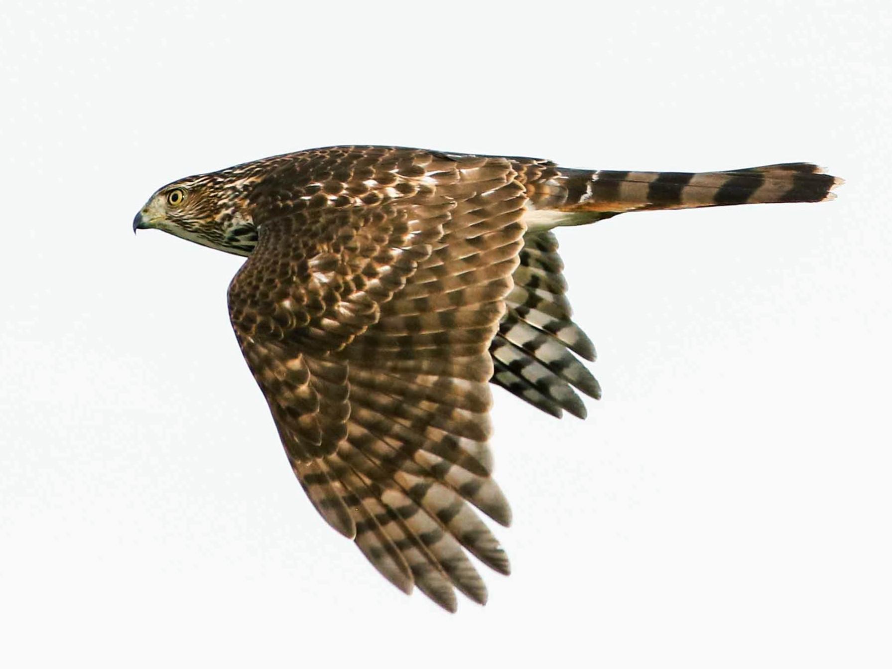 Cooper's Hawk - Byron Stone