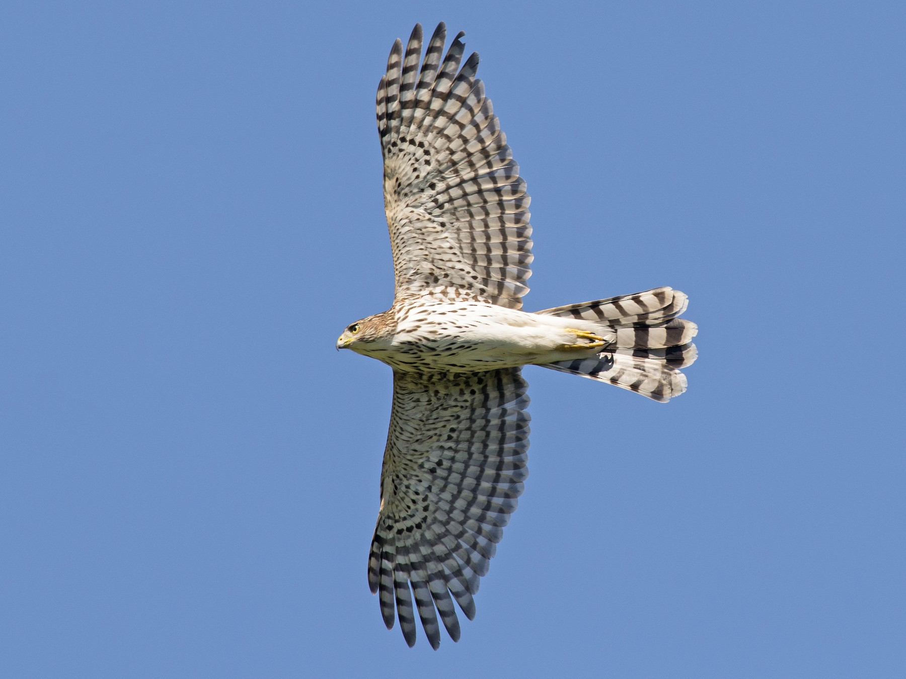 Cooper's Hawk - Jean-Sébastien Mayer