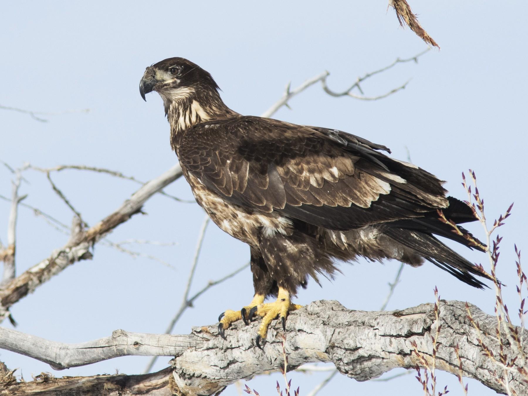 Bald Eagle - Bryce Robinson