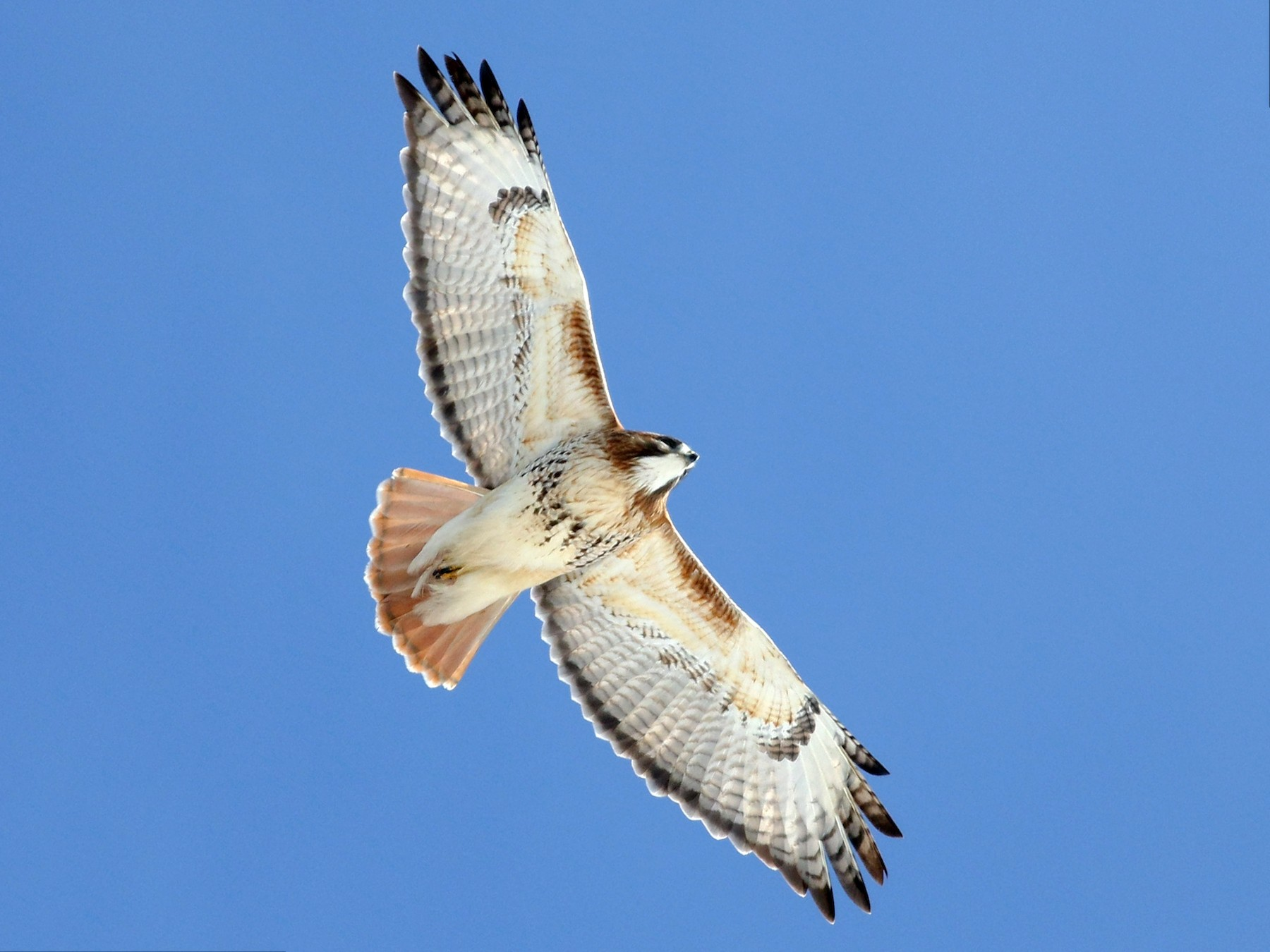 Red-tailed Hawk - Jonathan Eckerson