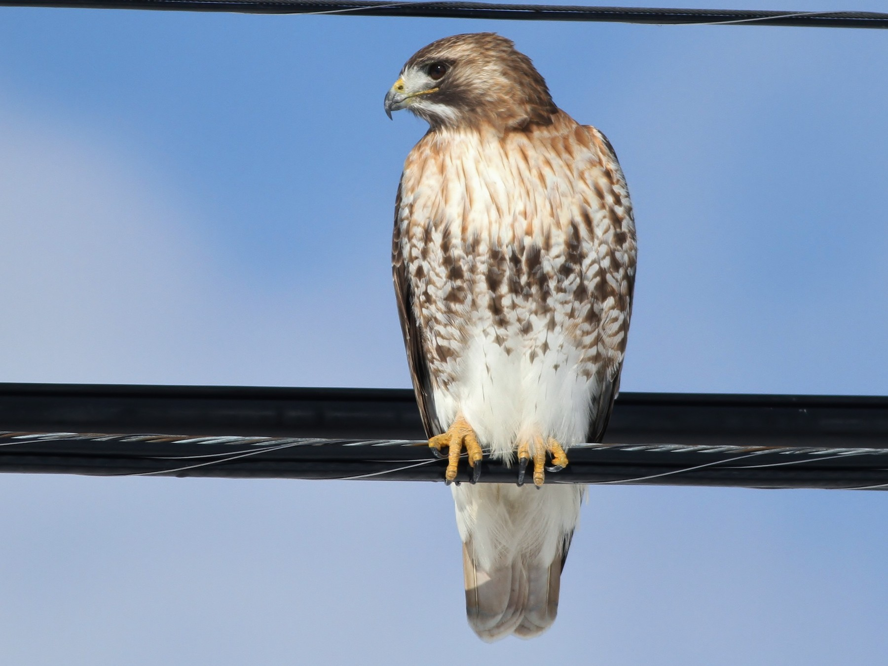 Red-tailed Hawk - Alex Lamoreaux