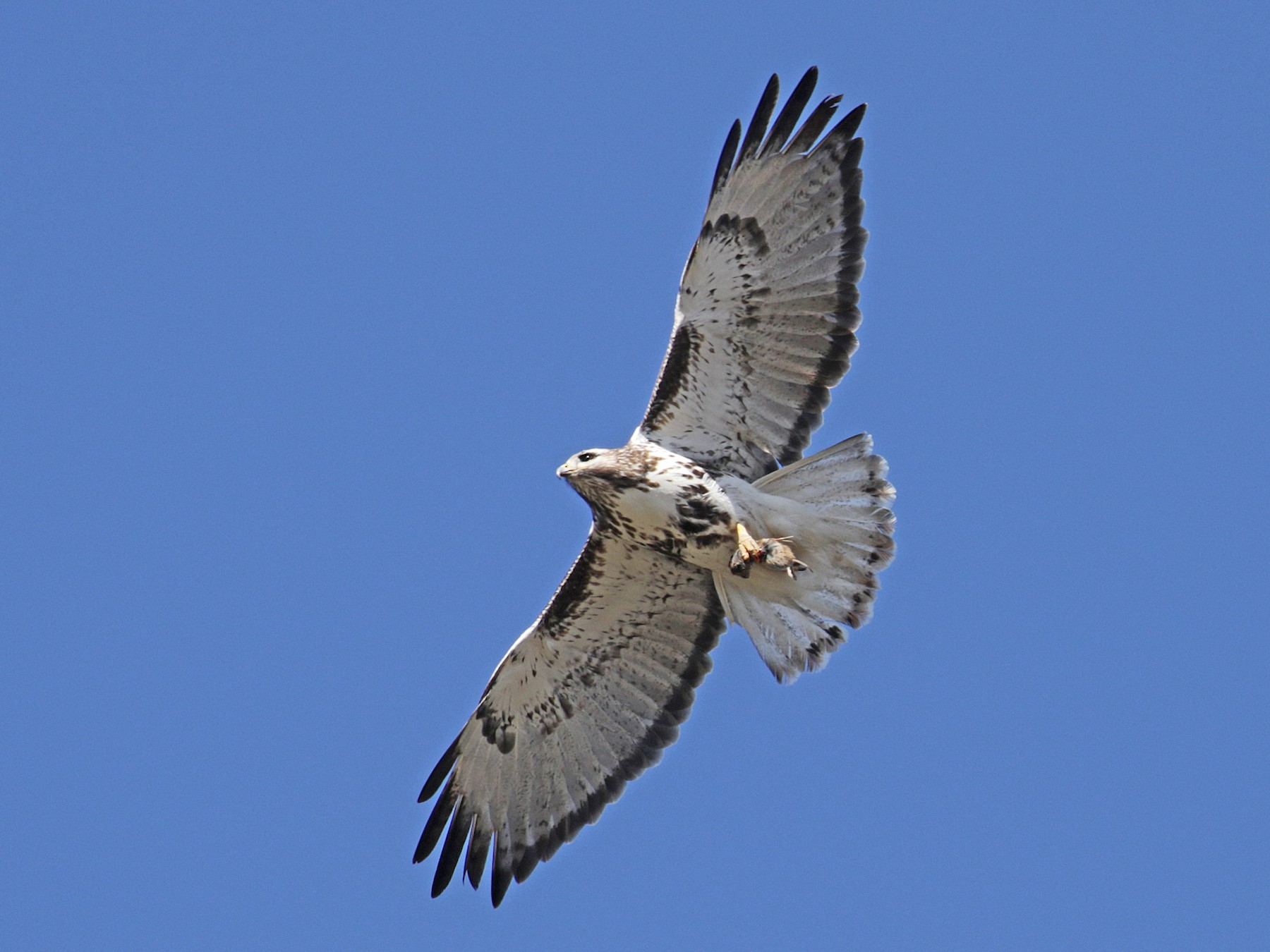 Red-tailed Hawk - Cameron Eckert
