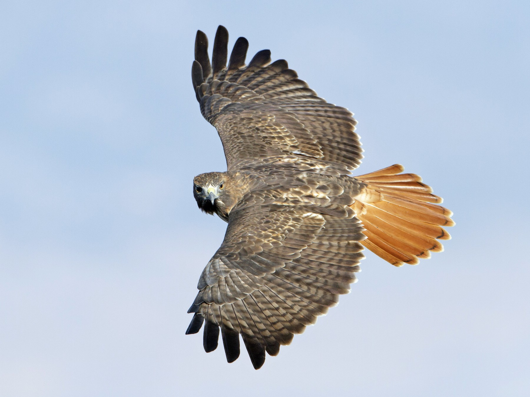 Red-tailed Hawk - Brian Sullivan