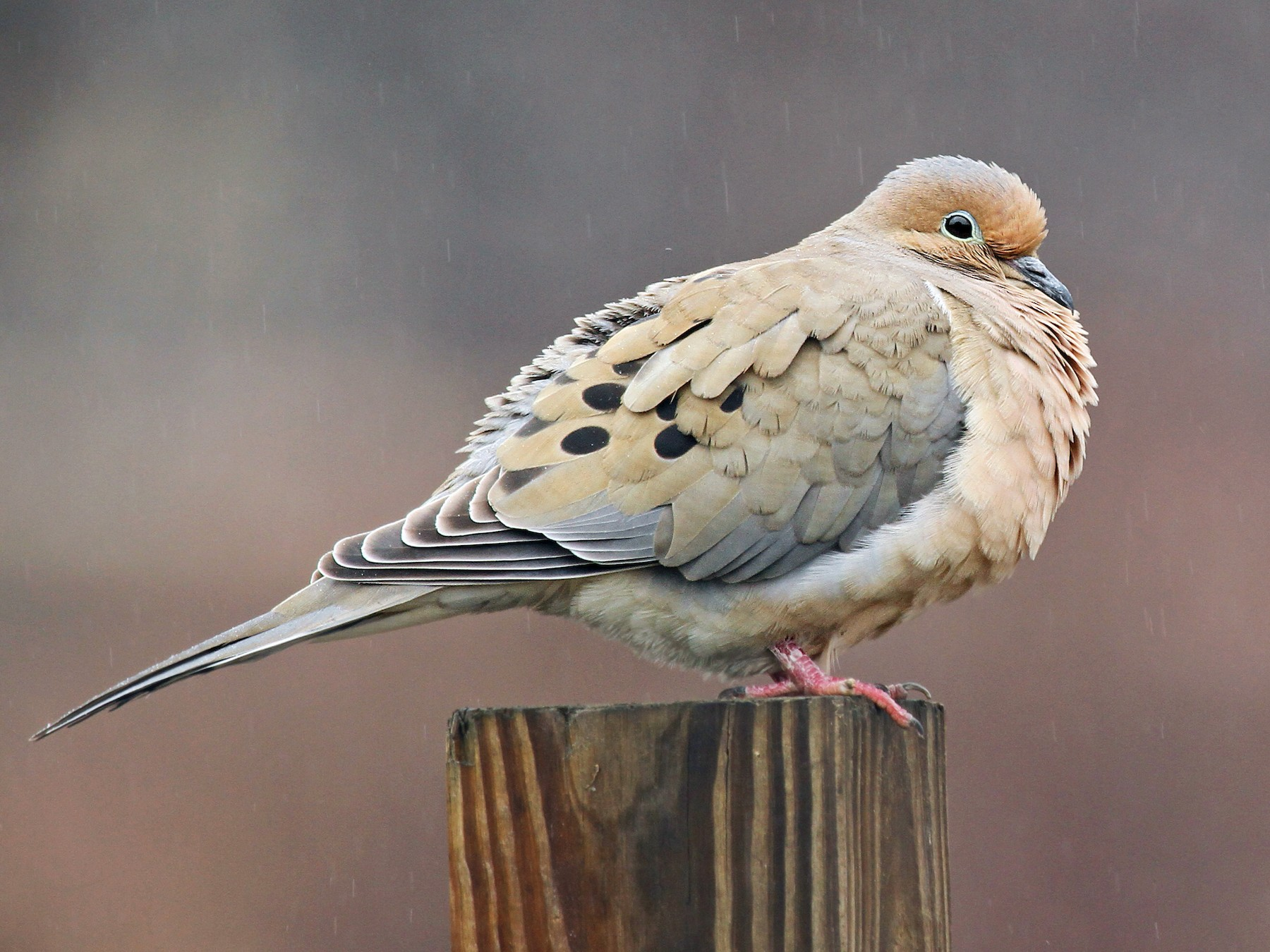 Mourning Dove - Ryan Schain