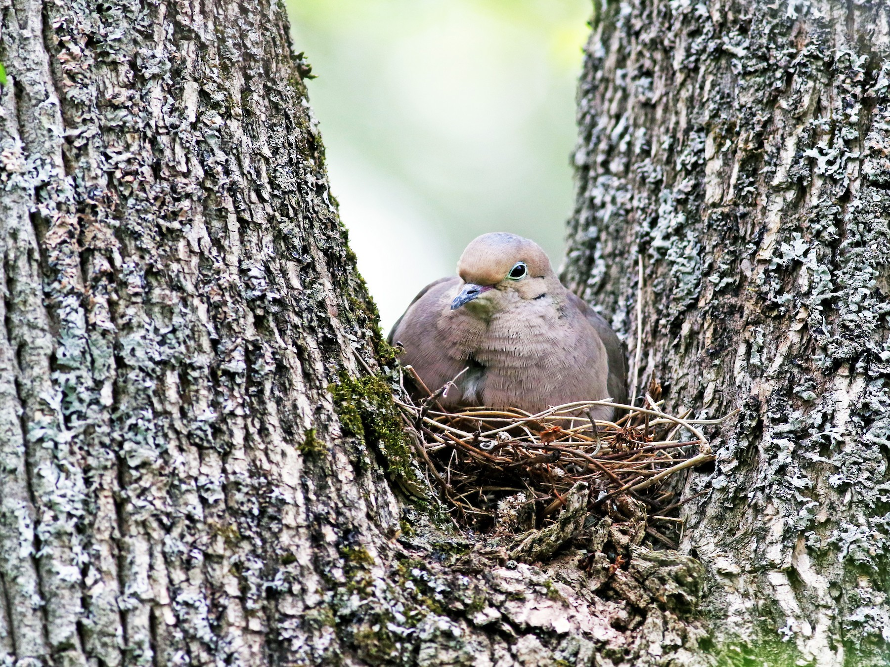Mourning Dove - Jay McGowan