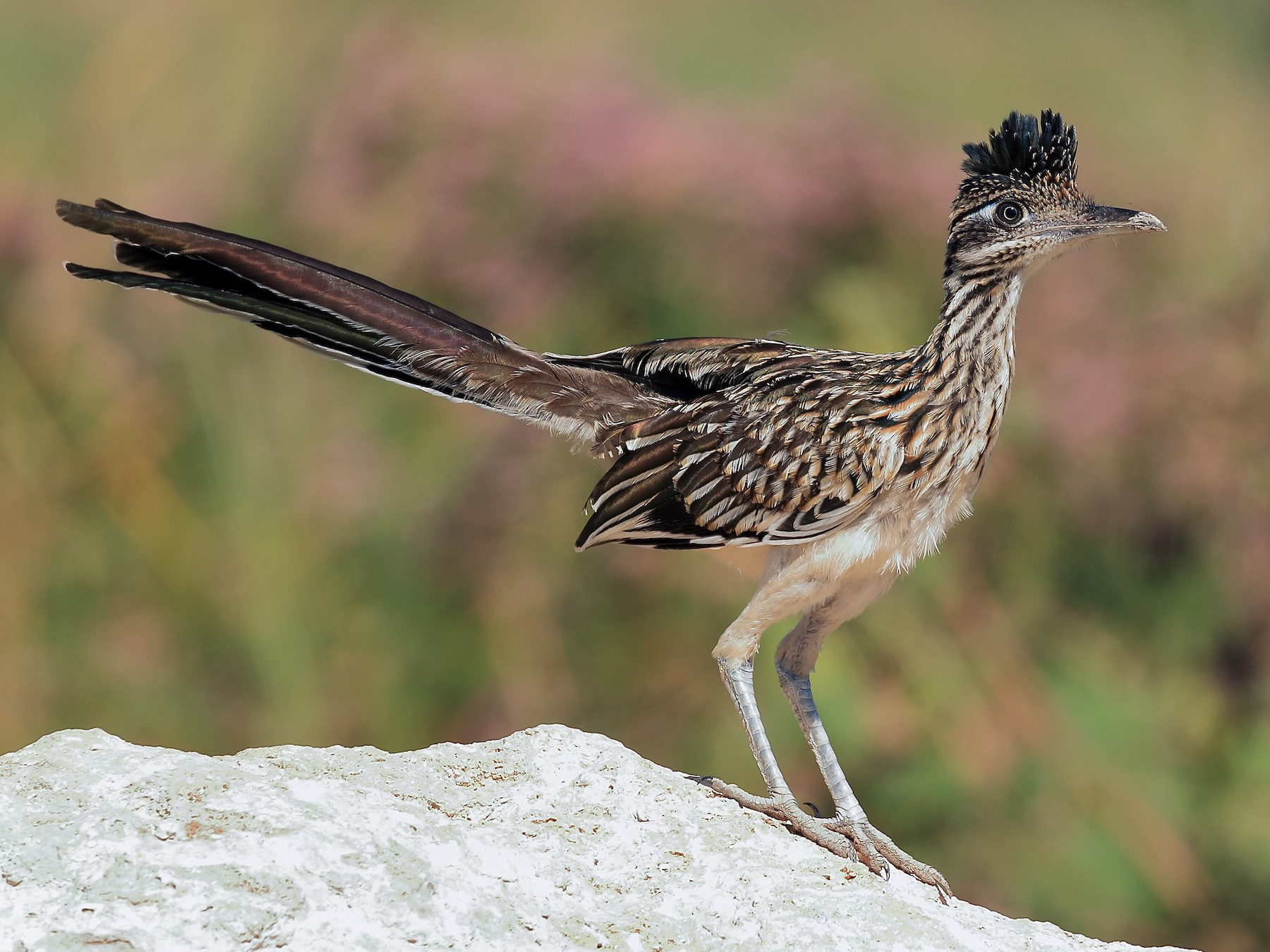 Greater Roadrunner - Lawrence Haller