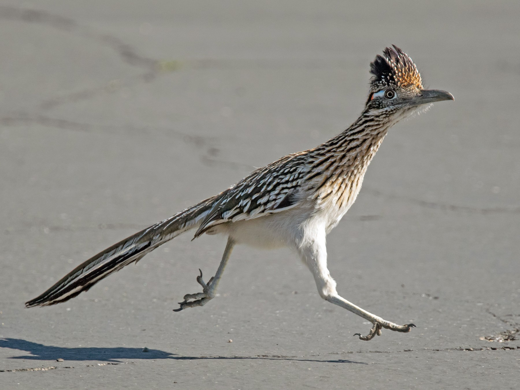 Greater Roadrunner - Nancy Christensen