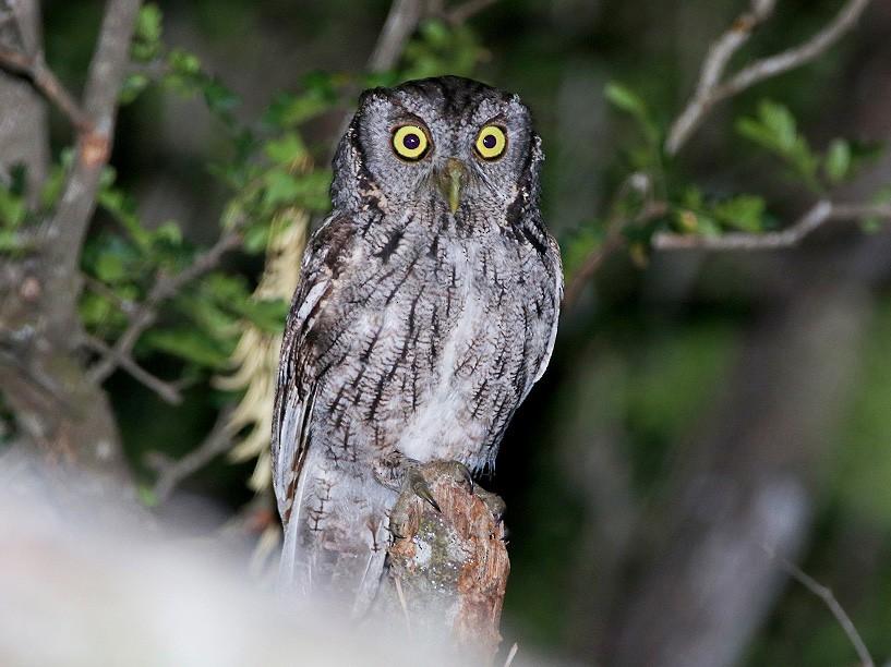 Eastern Screech-Owl - Tim Avery