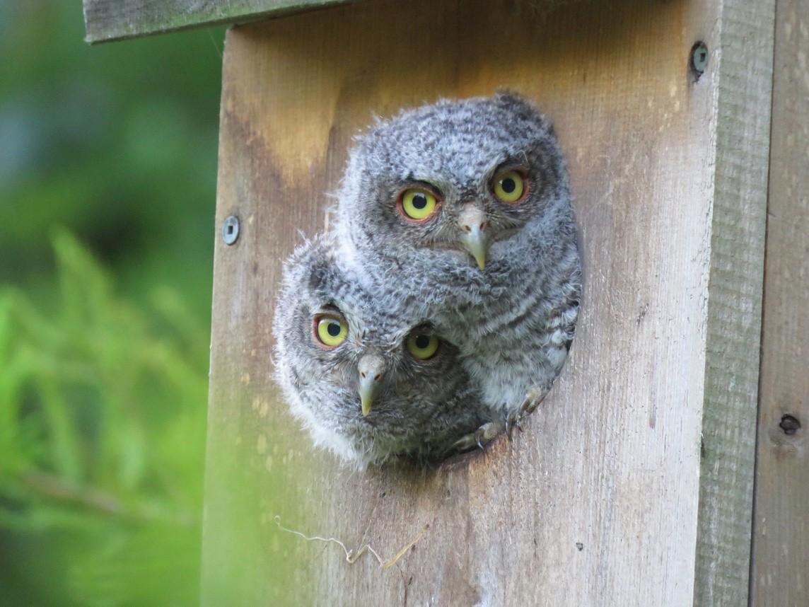 Eastern Screech-Owl - Judy Fairchild