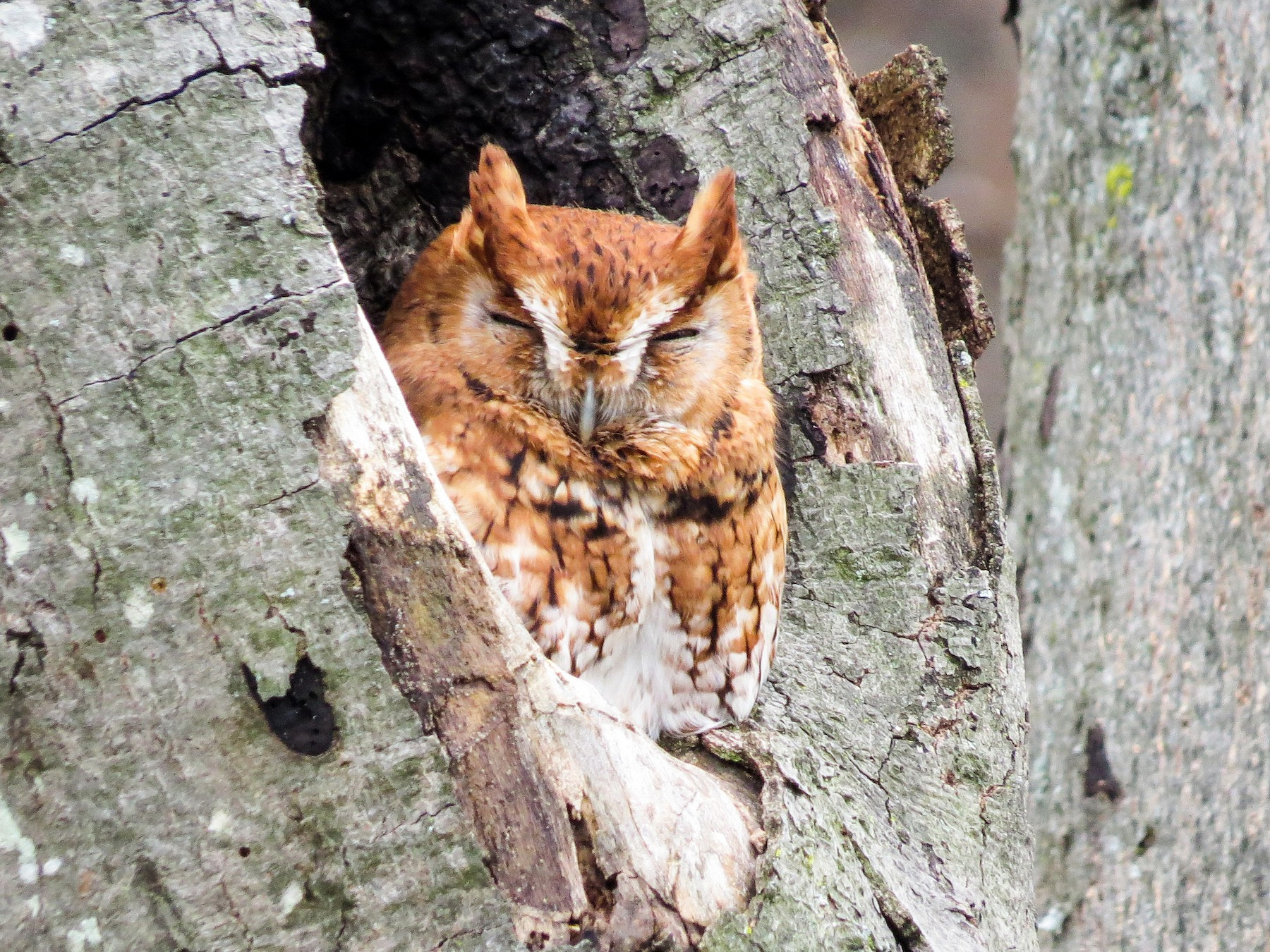 Eastern Screech-Owl - Adam Betuel