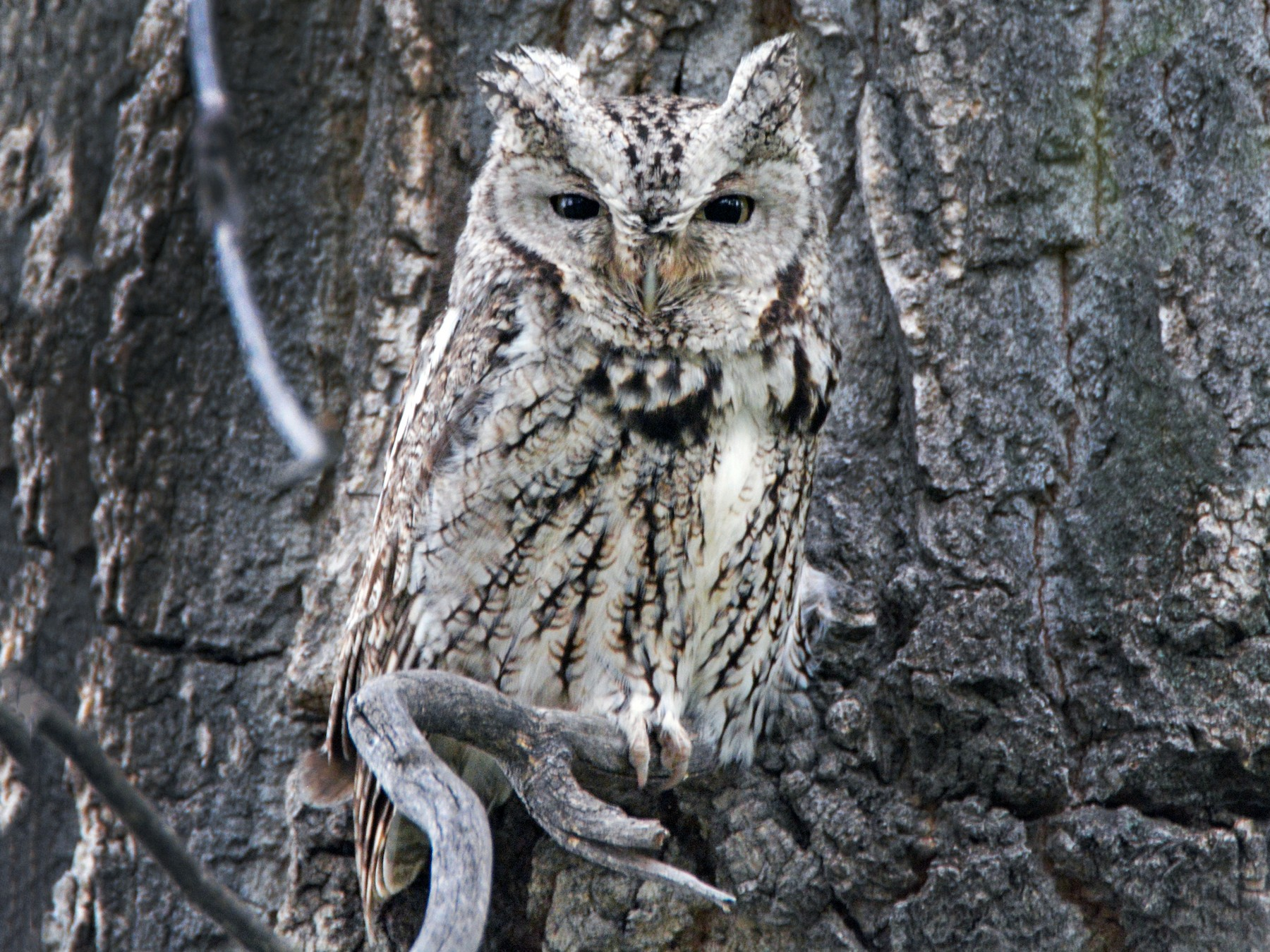 Eastern Screech-Owl - David Wade